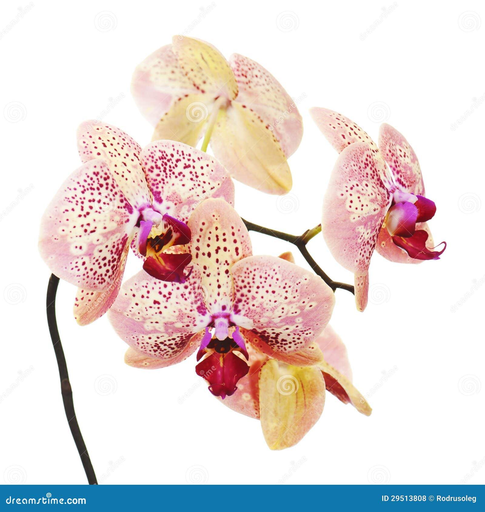 Orchidee op witte achtergrond wordt geïsoleerdt die