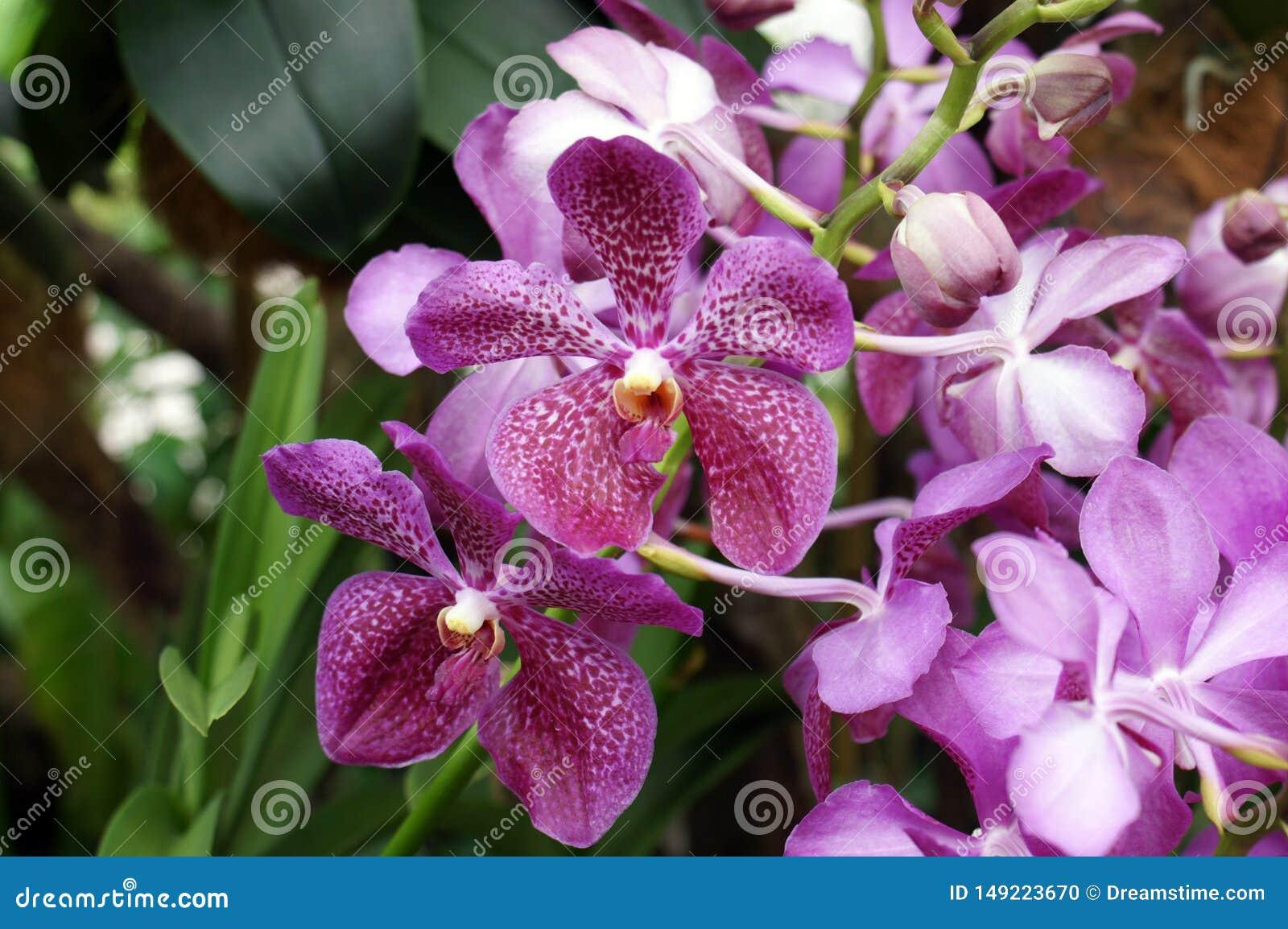 Orchidee porpora di Bali della tigre