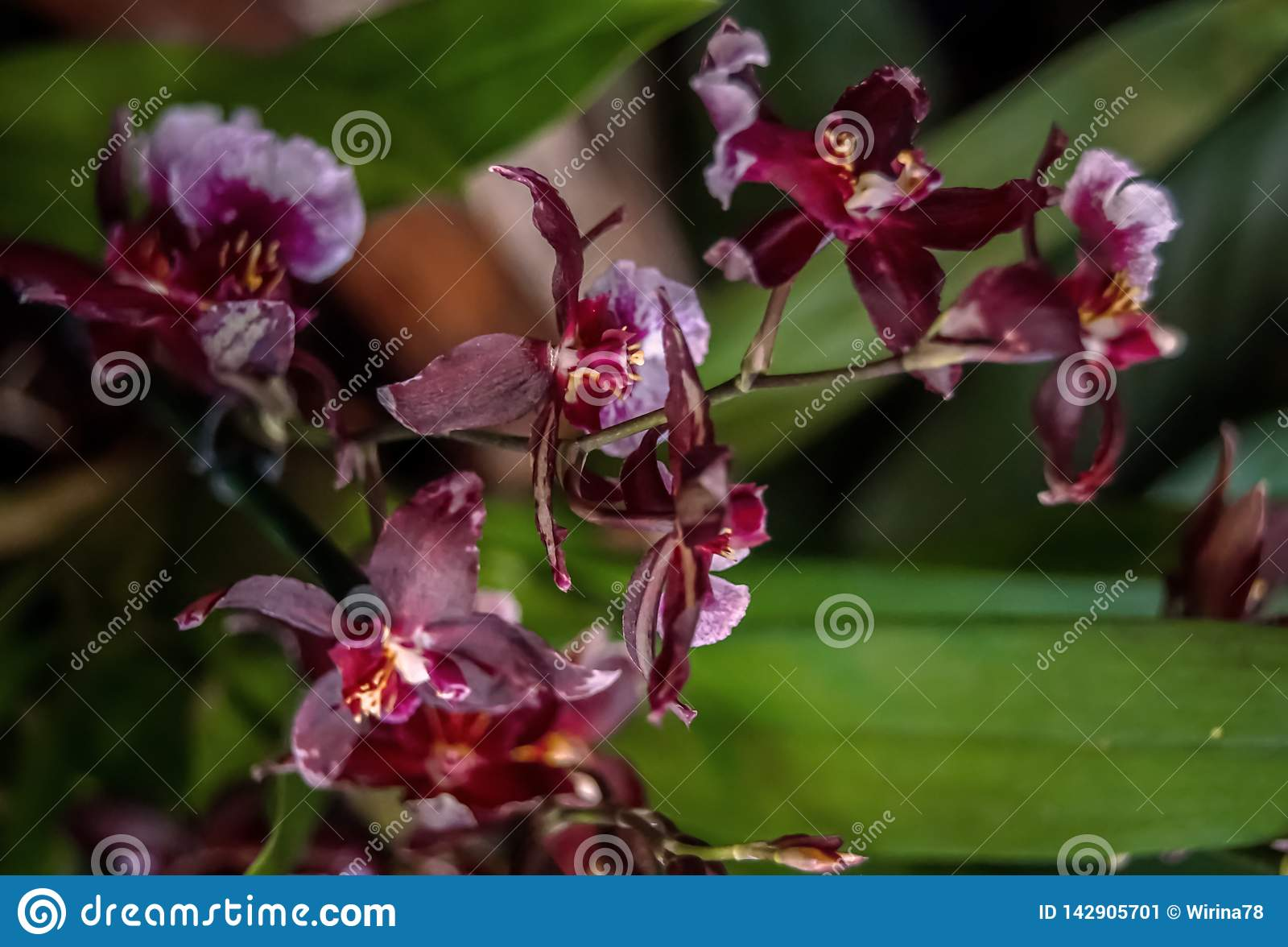 Orchidee porpora sulla fine verde scuro del fondo su