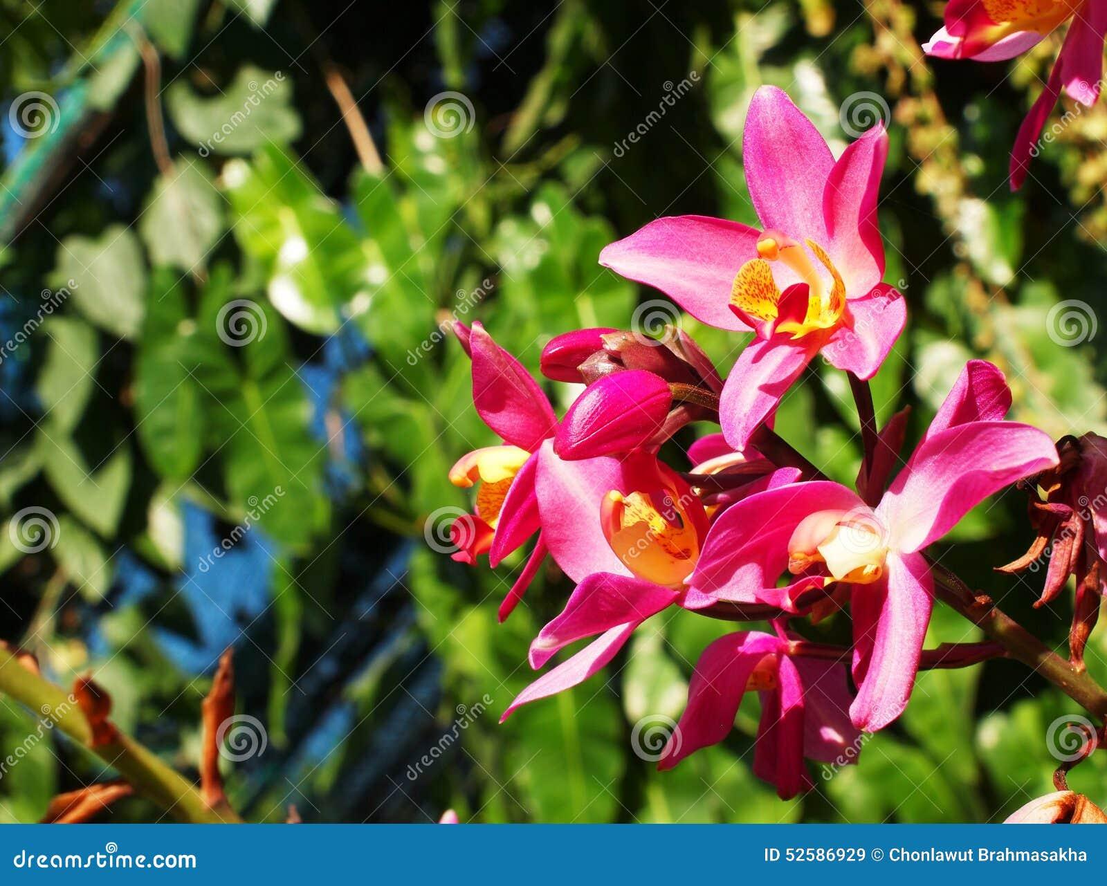 Orchidee rosa arancioni nellambito di illuminazione naturale