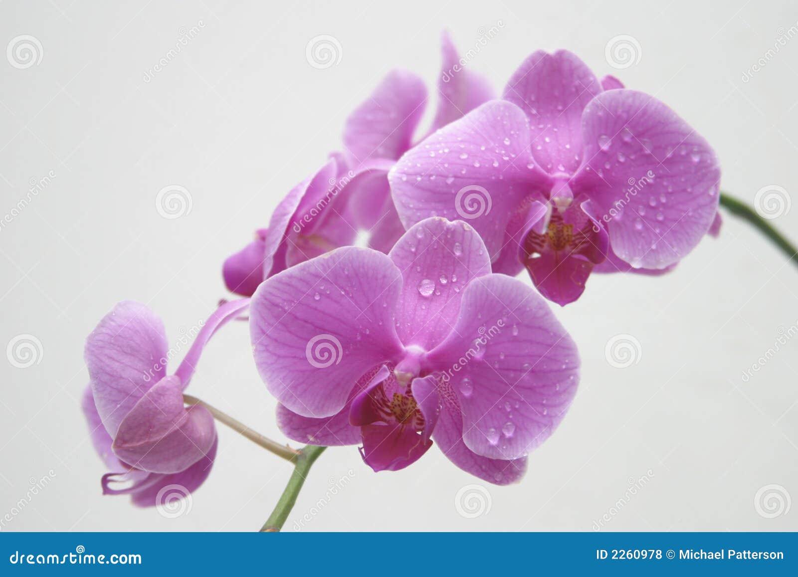orchidee wasser tropfen lizenzfreie stockfotos bild 2260978. Black Bedroom Furniture Sets. Home Design Ideas