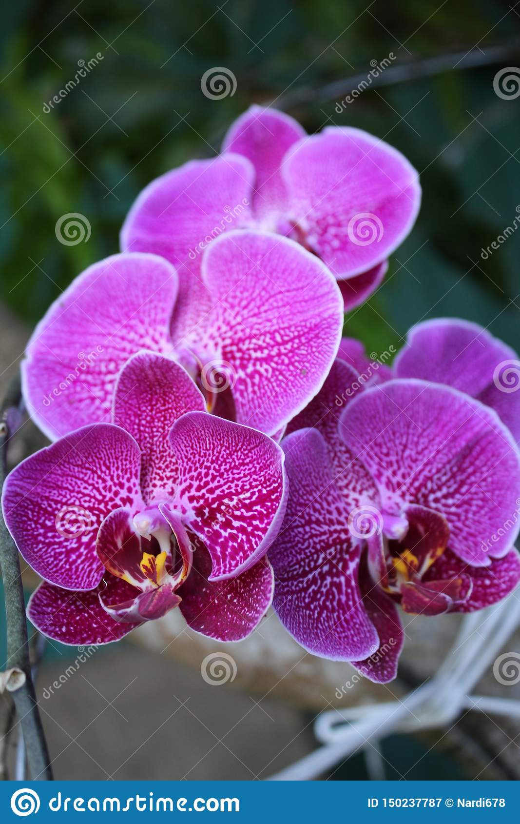 Orchidee in wildem