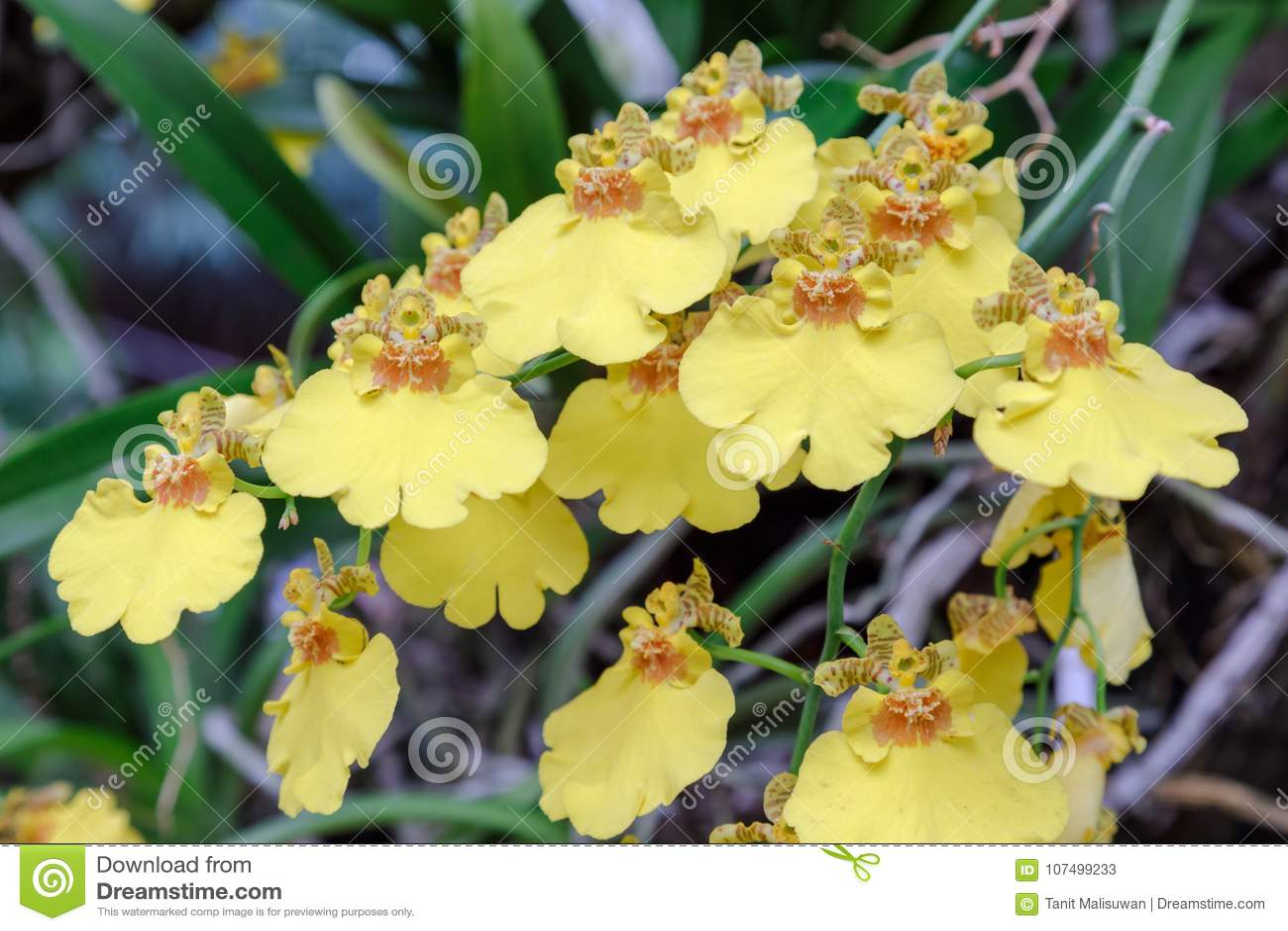 Orchideebloem in orchideetuin bij de winter of de lentedag