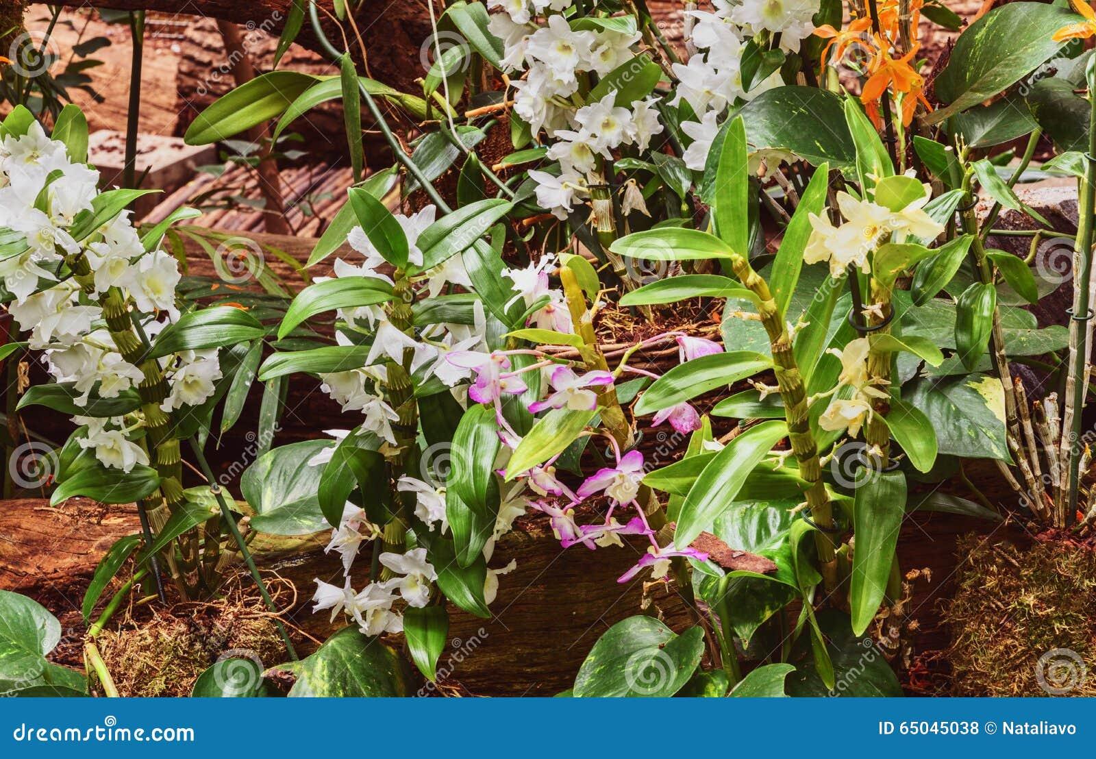 orchideen dendrobium nobile im gew chshaus stockfoto bild von blumenstrau abschlu 65045038. Black Bedroom Furniture Sets. Home Design Ideas