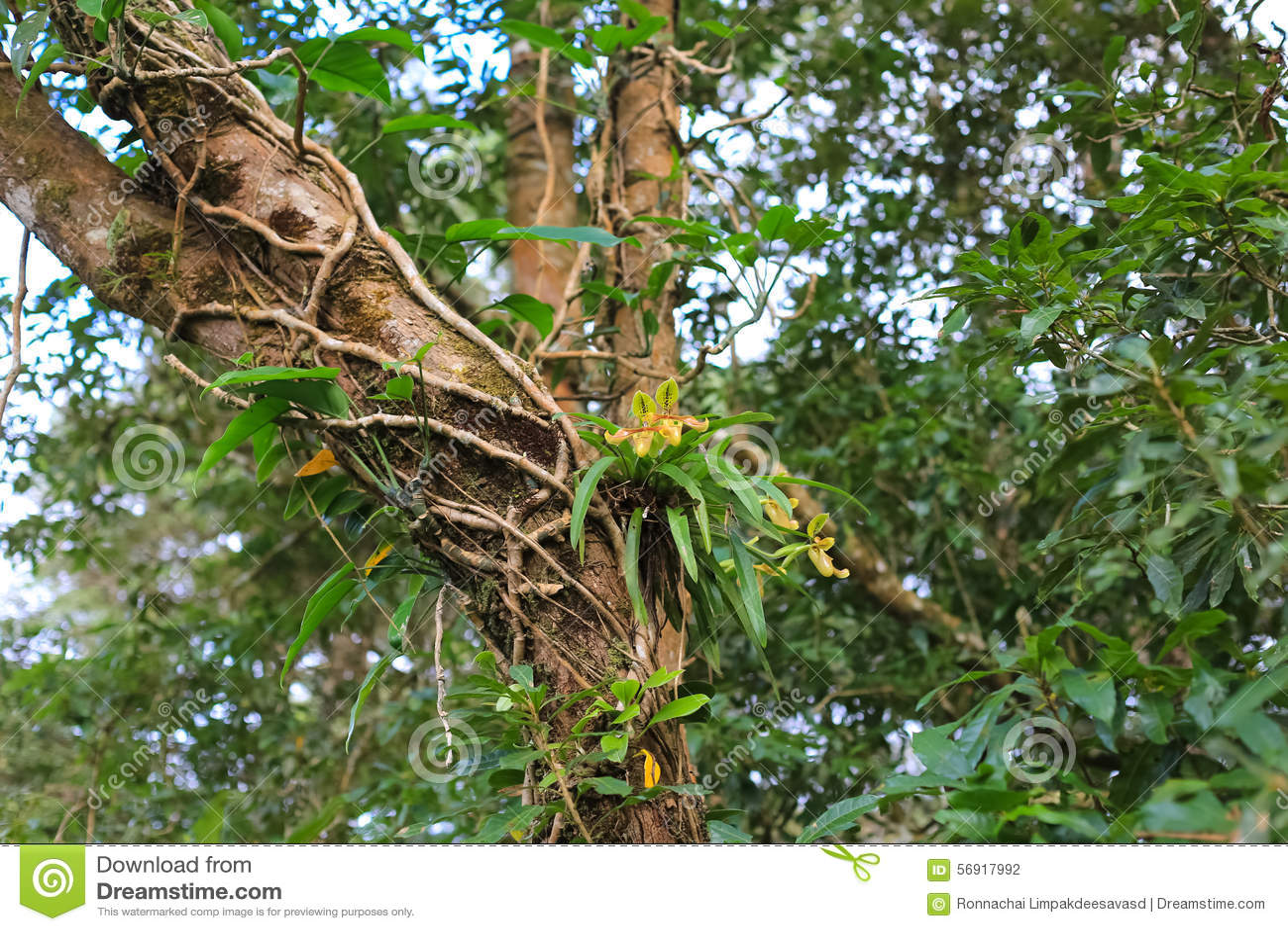 Orchideen im tropischen regenwald  Orchideen Im Regenwald Stockfoto - Bild: 56917992