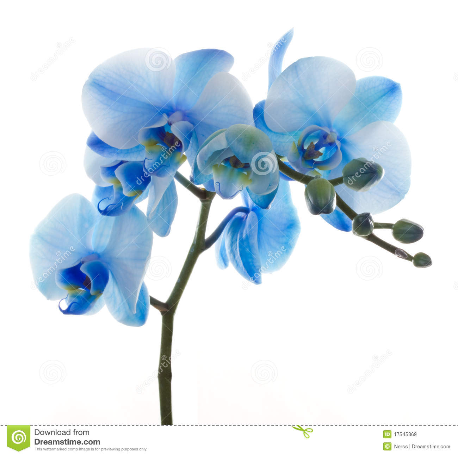 OrchideePhalaenopsis