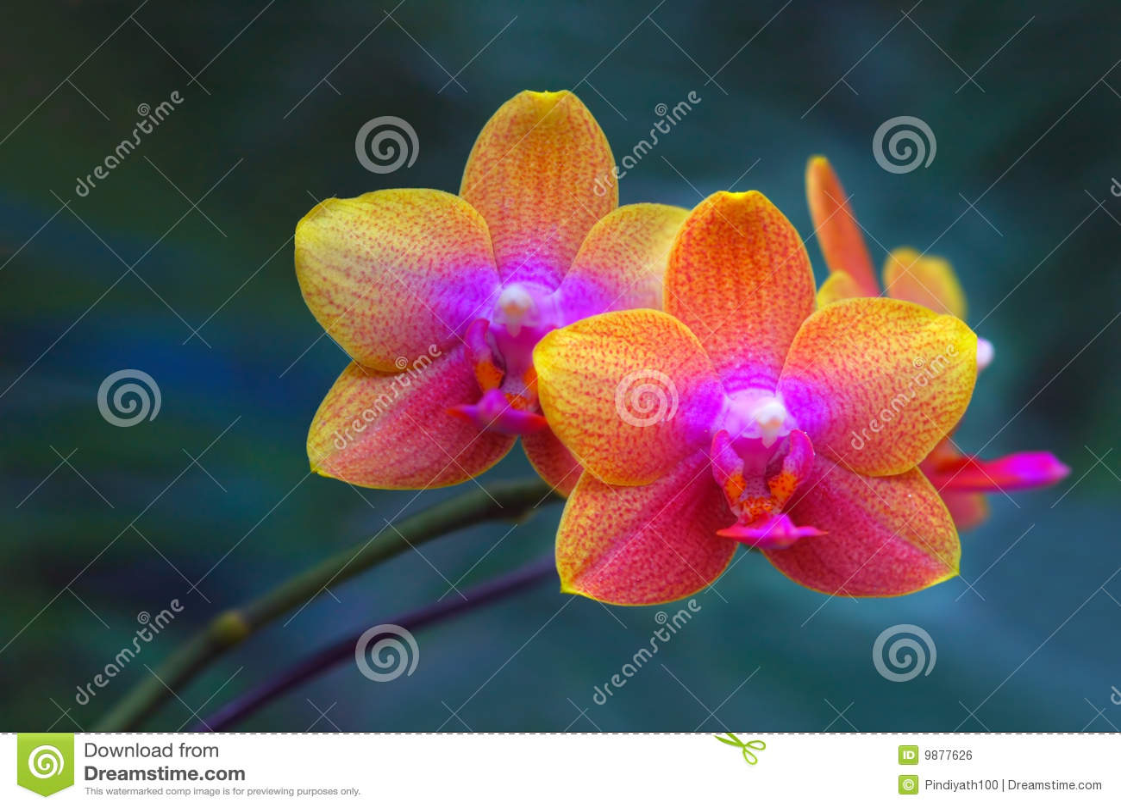 Orchidei para