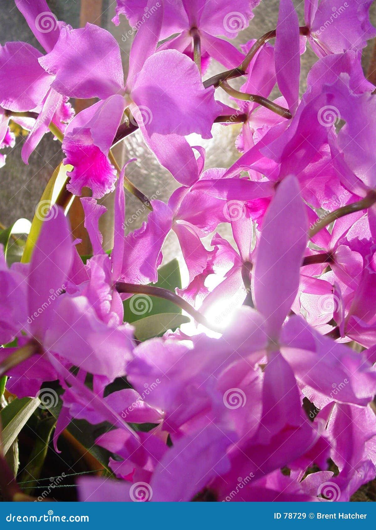 Orchids πορφύρα