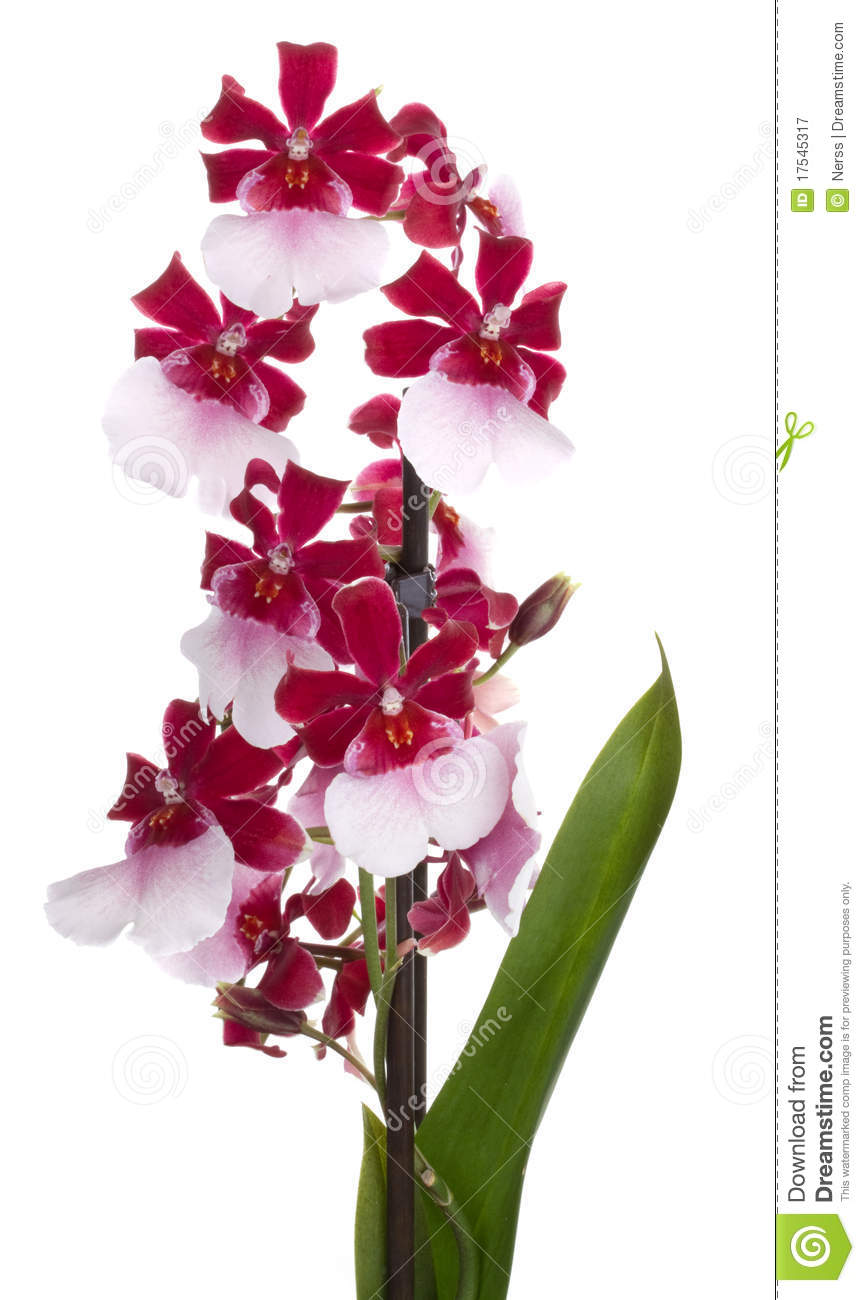orchids flowers royalty free stock photography image