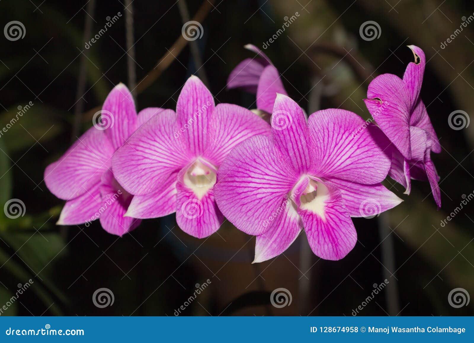 Beautiful Orchid, srilankan Orchid Farm,
