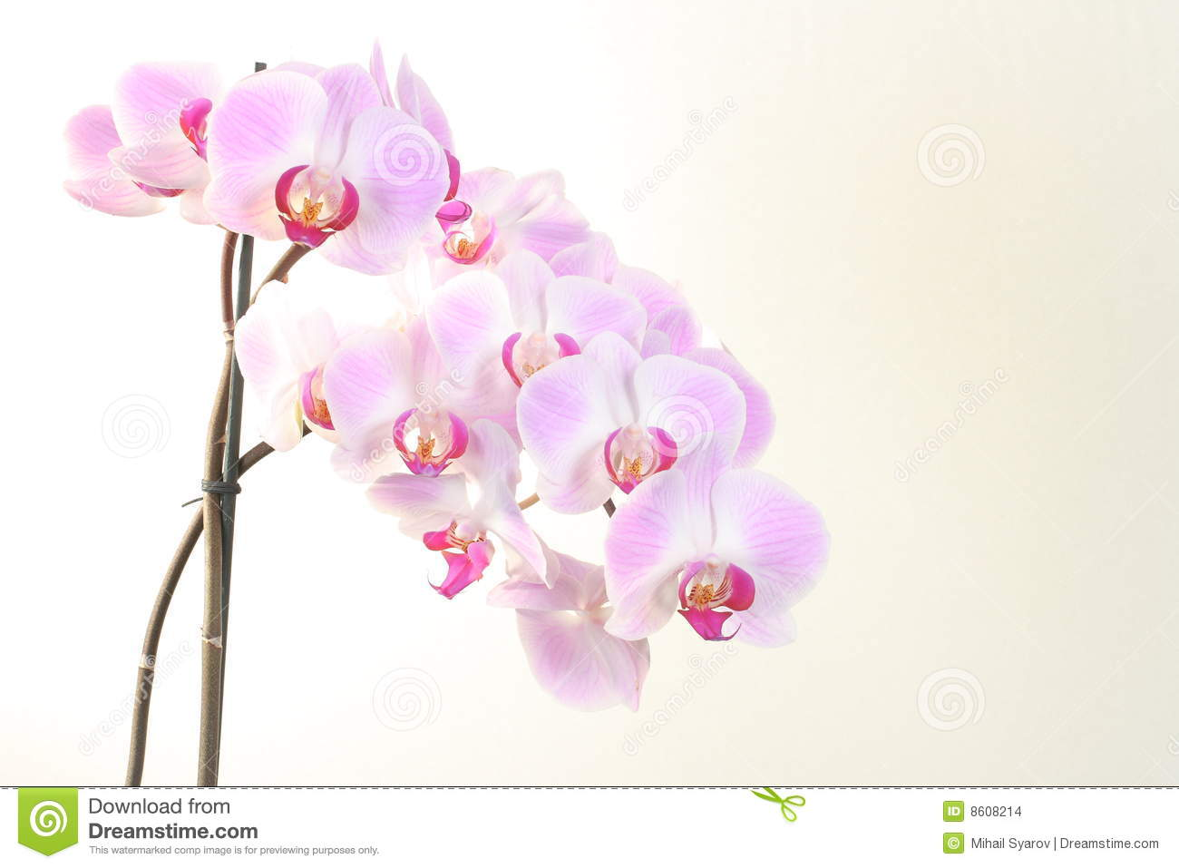 Orchidspink