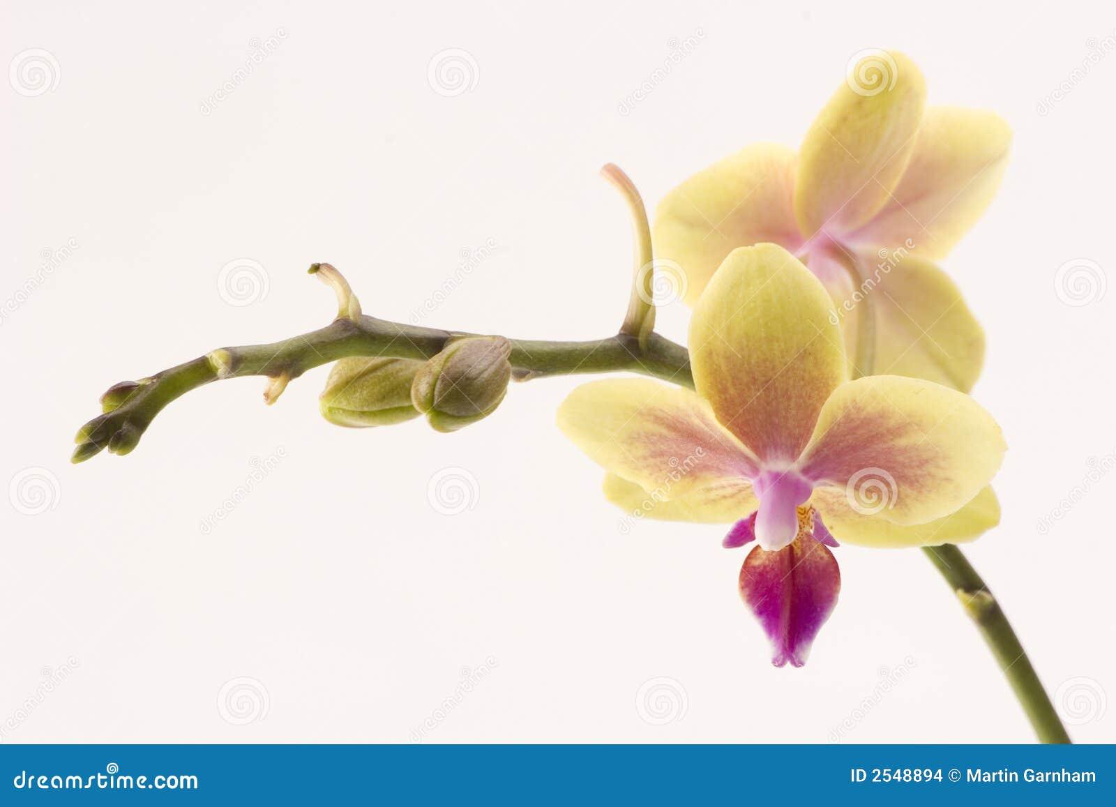 Orchidyellow