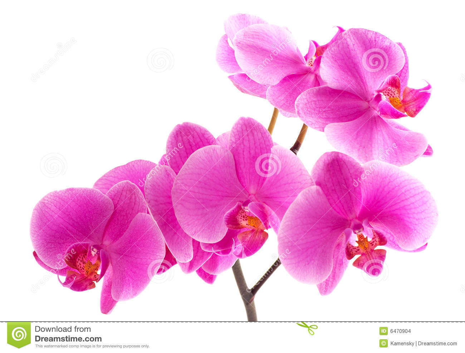 Orchyd purpurowy