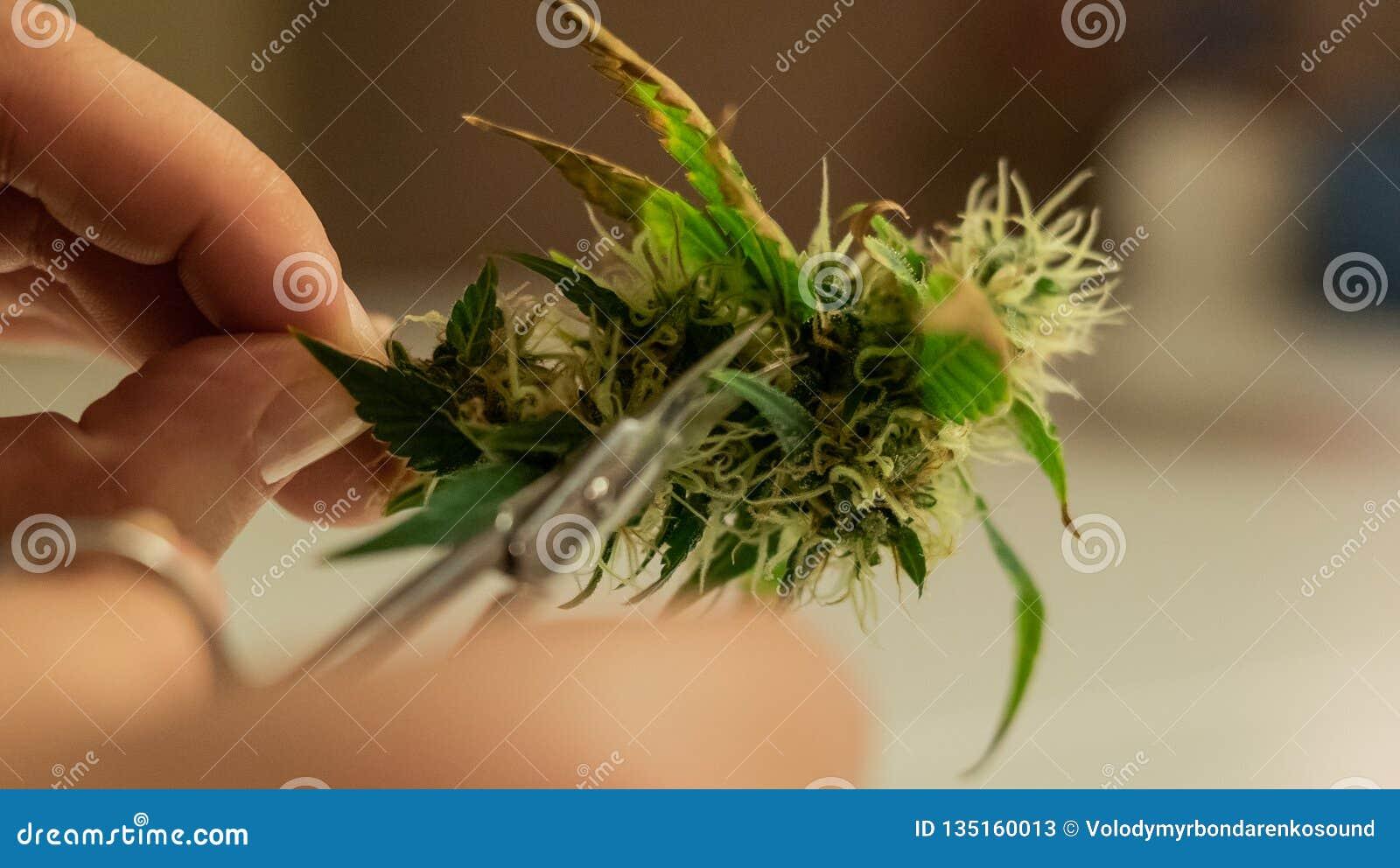 In orde makende marihuanaknoppen in close-up Cannabisspanningen in 2019