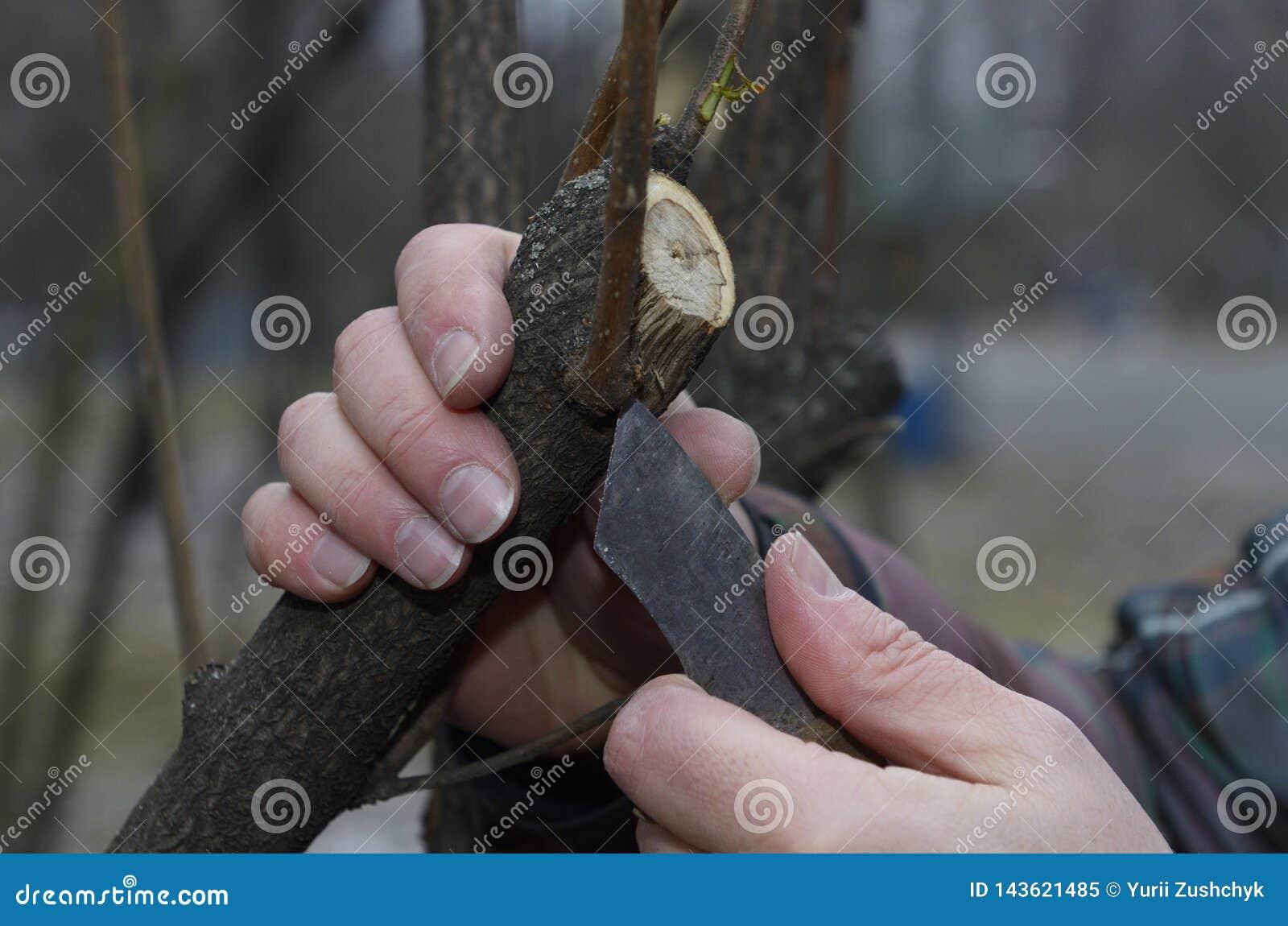 In orde makende struiken met een mes