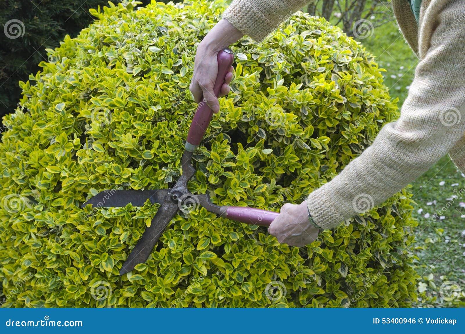In orde makende struiken met tuinschaar