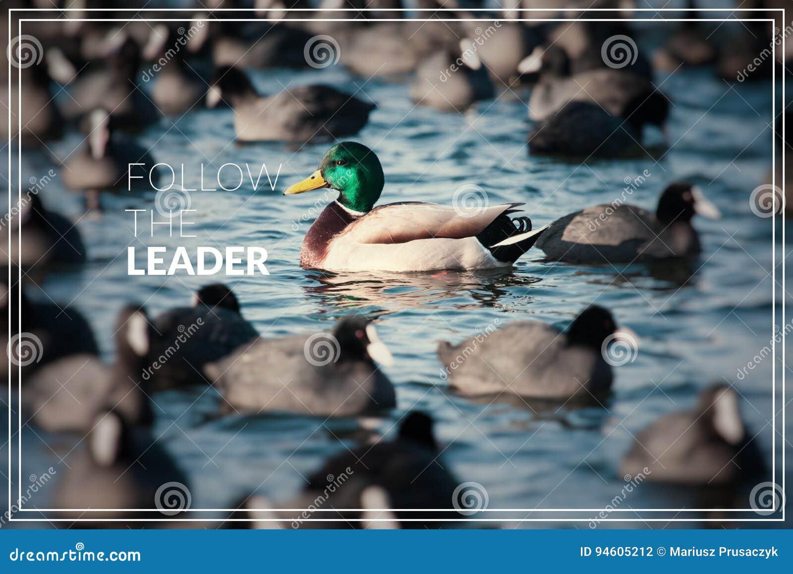 Ordet följer ledaren Löst gräsandandbad i sjön