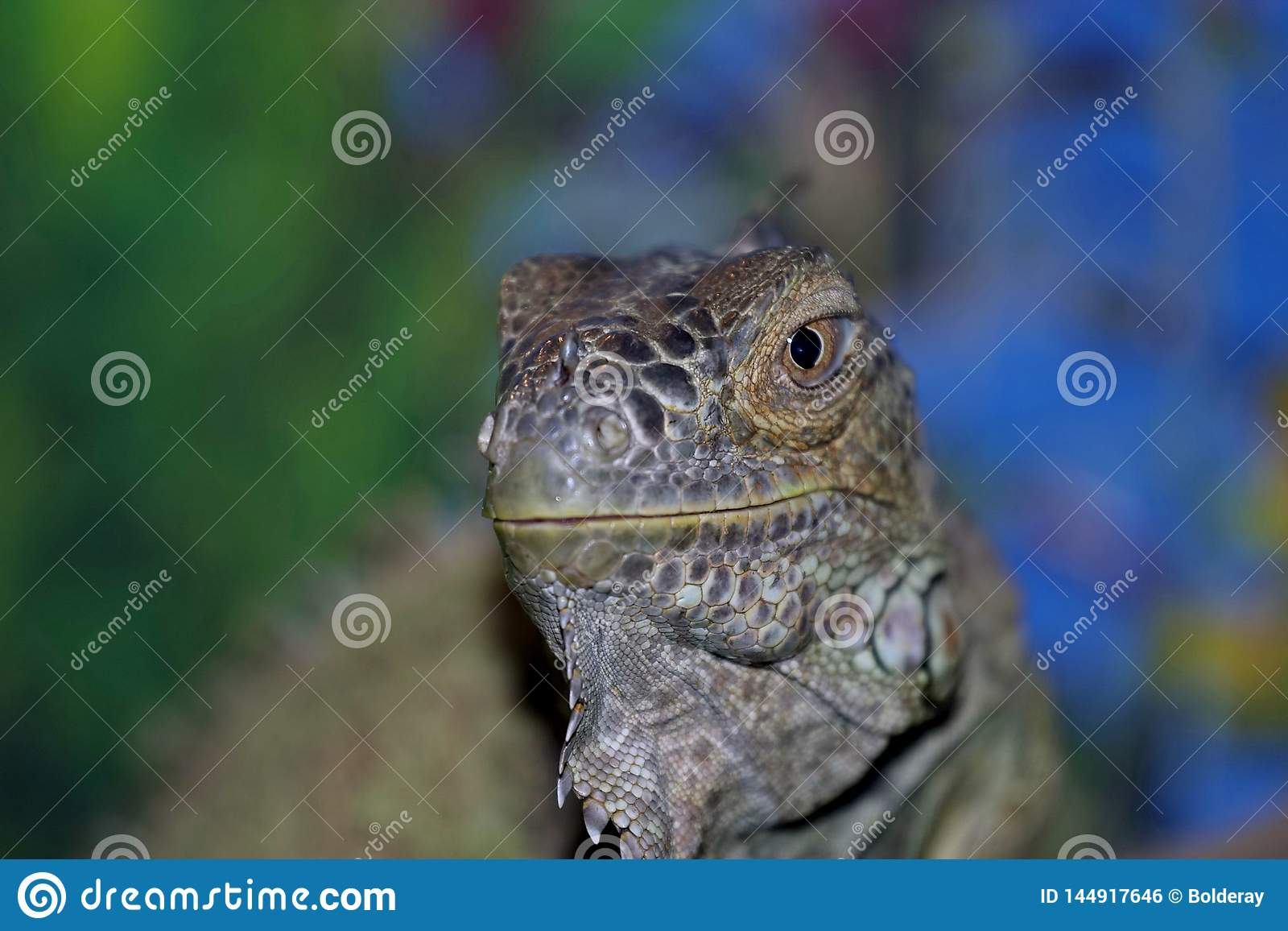 An ordinary iguana, or a green iguana is a large herbivorous lizard, leading a daily woody life. It lives in Central America