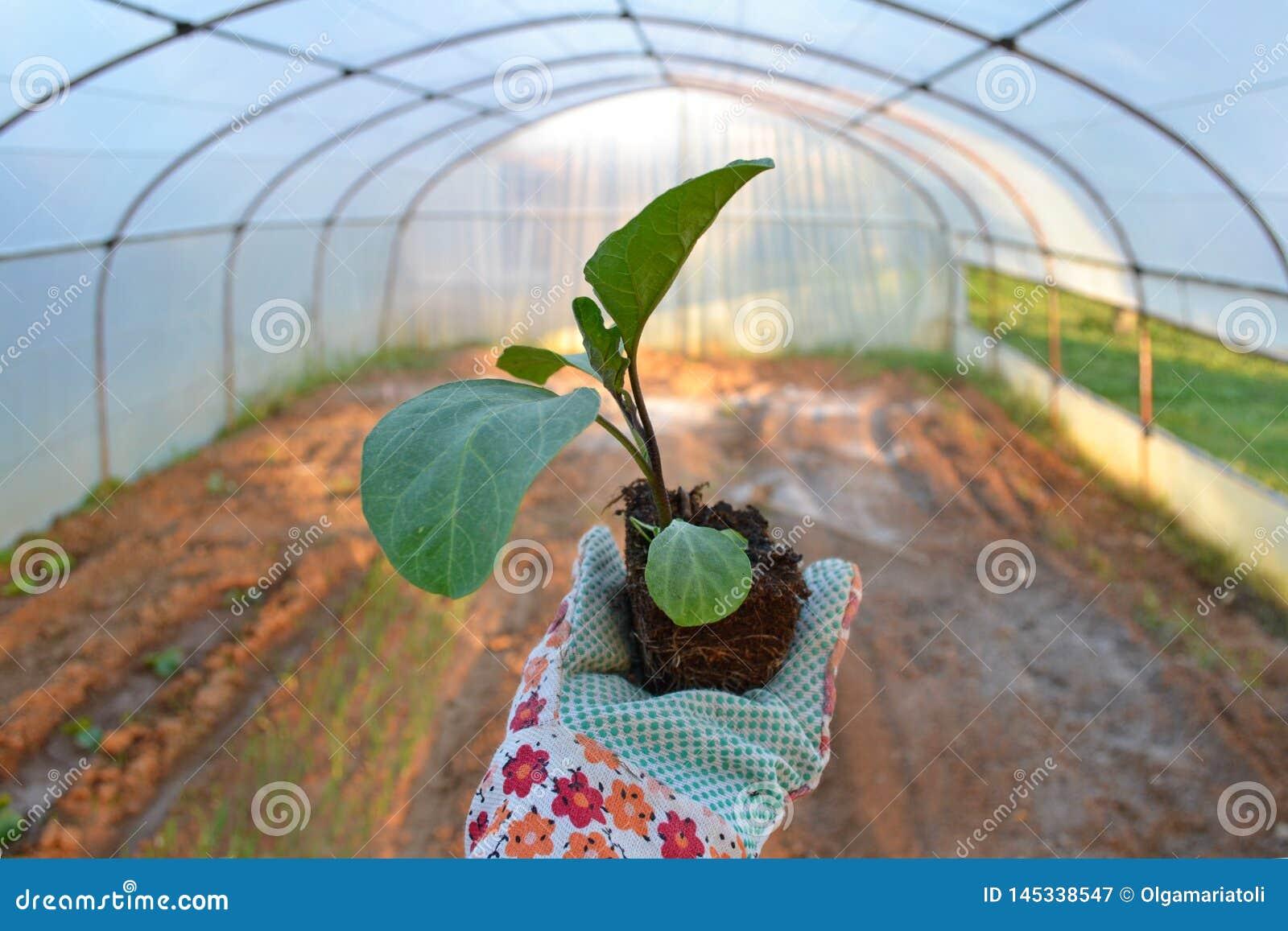 Ordna till för att plantera en aubergine