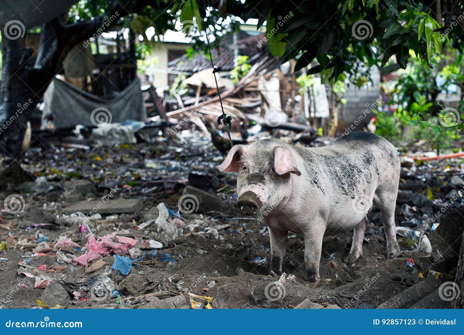 Ordures et un porc