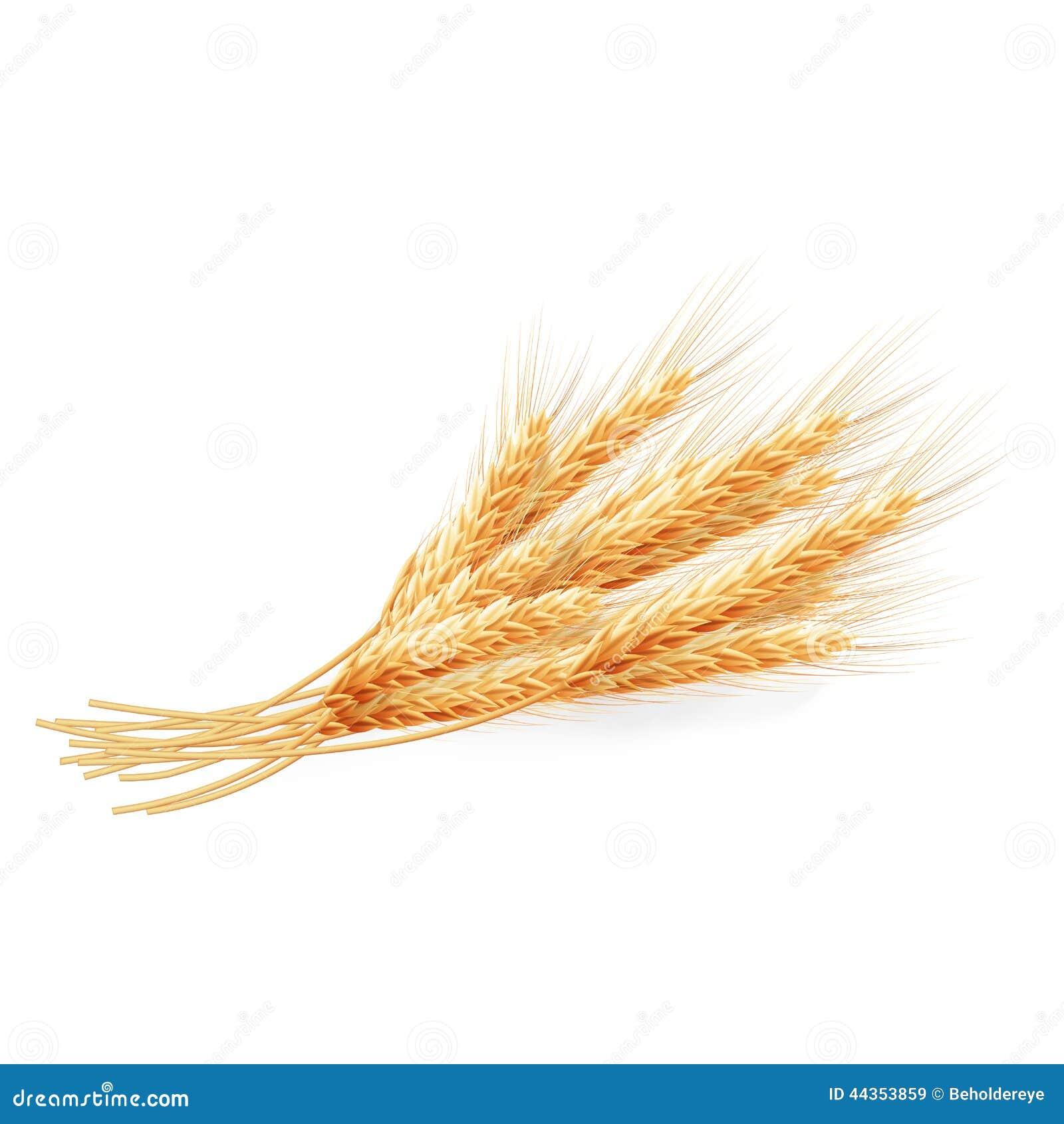 Orecchie del frumento isolate su priorità bassa bianca ENV 10