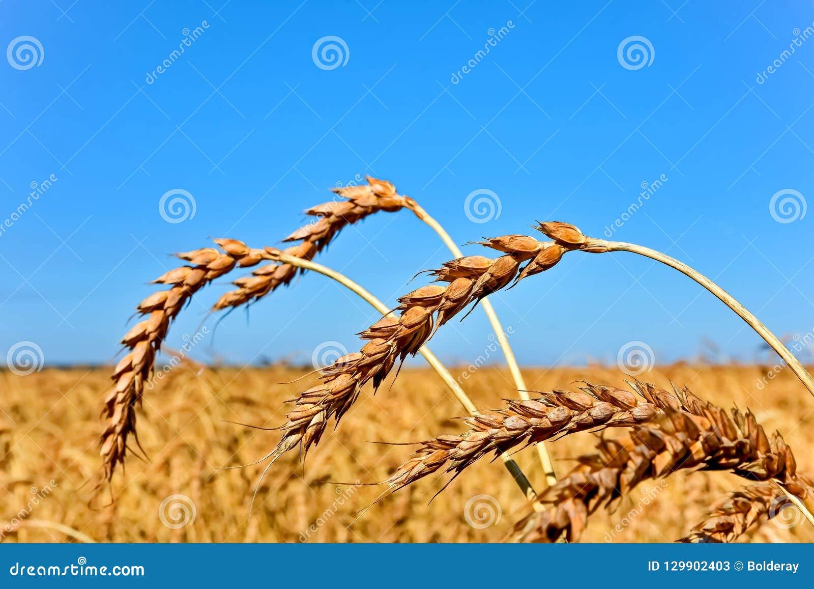 Orecchie dorate del grano sul fondo del cielo blu Campo di frumento
