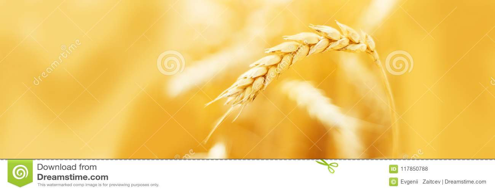 Orecchie mature di grano nel campo durante la fine del raccolto su Paesaggio di estate di agricoltura Scena rurale Copi lo spazio
