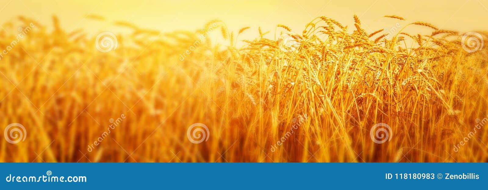 Orecchie mature di grano nel campo durante la fine del raccolto su Paesaggio di estate di agricoltura Scena rurale immagine panor