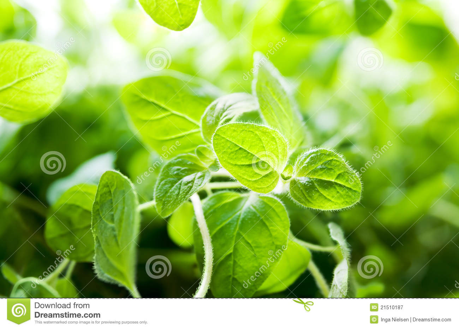 Oregano Plant Royalty Free Stock Photography - Image: 21510187