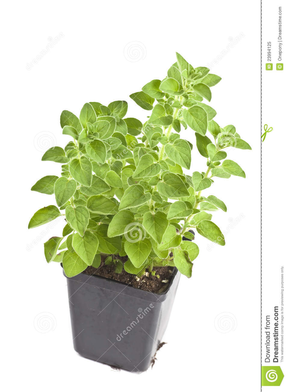 Oregano plant stock image image of spice grow natural for Dream plants for the natural garden