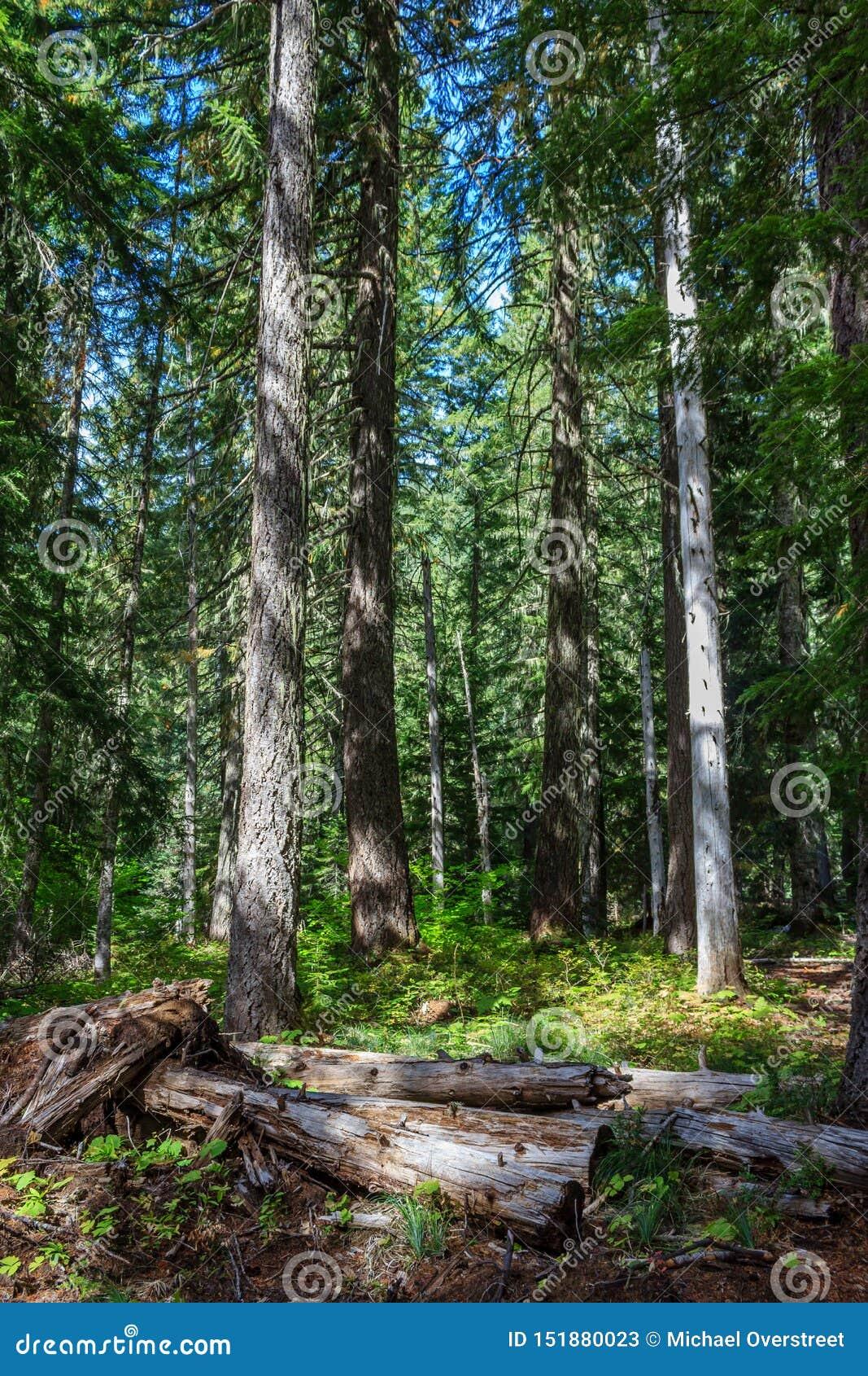Oregon skog
