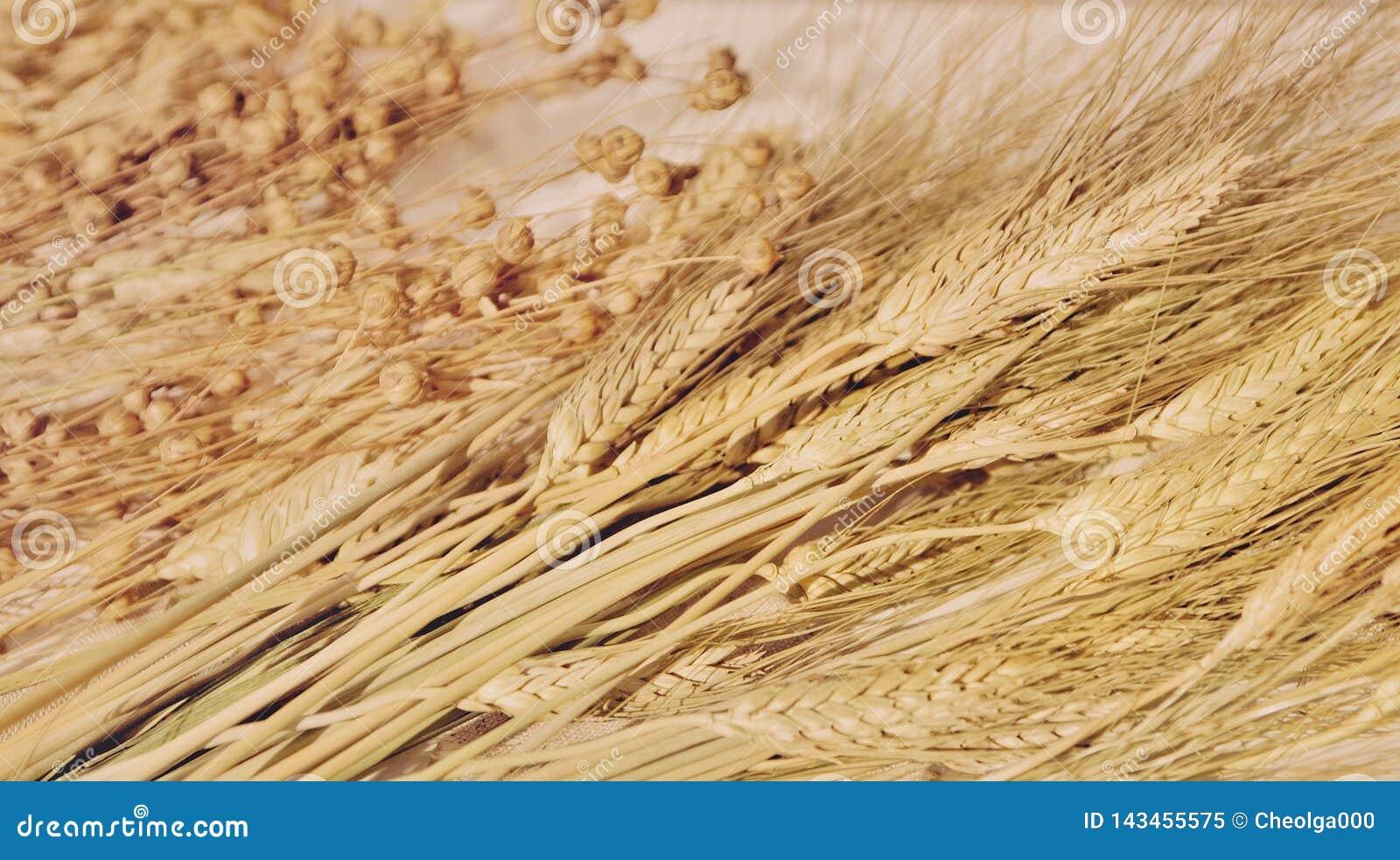 Oreilles de blé et d avoine, céréales