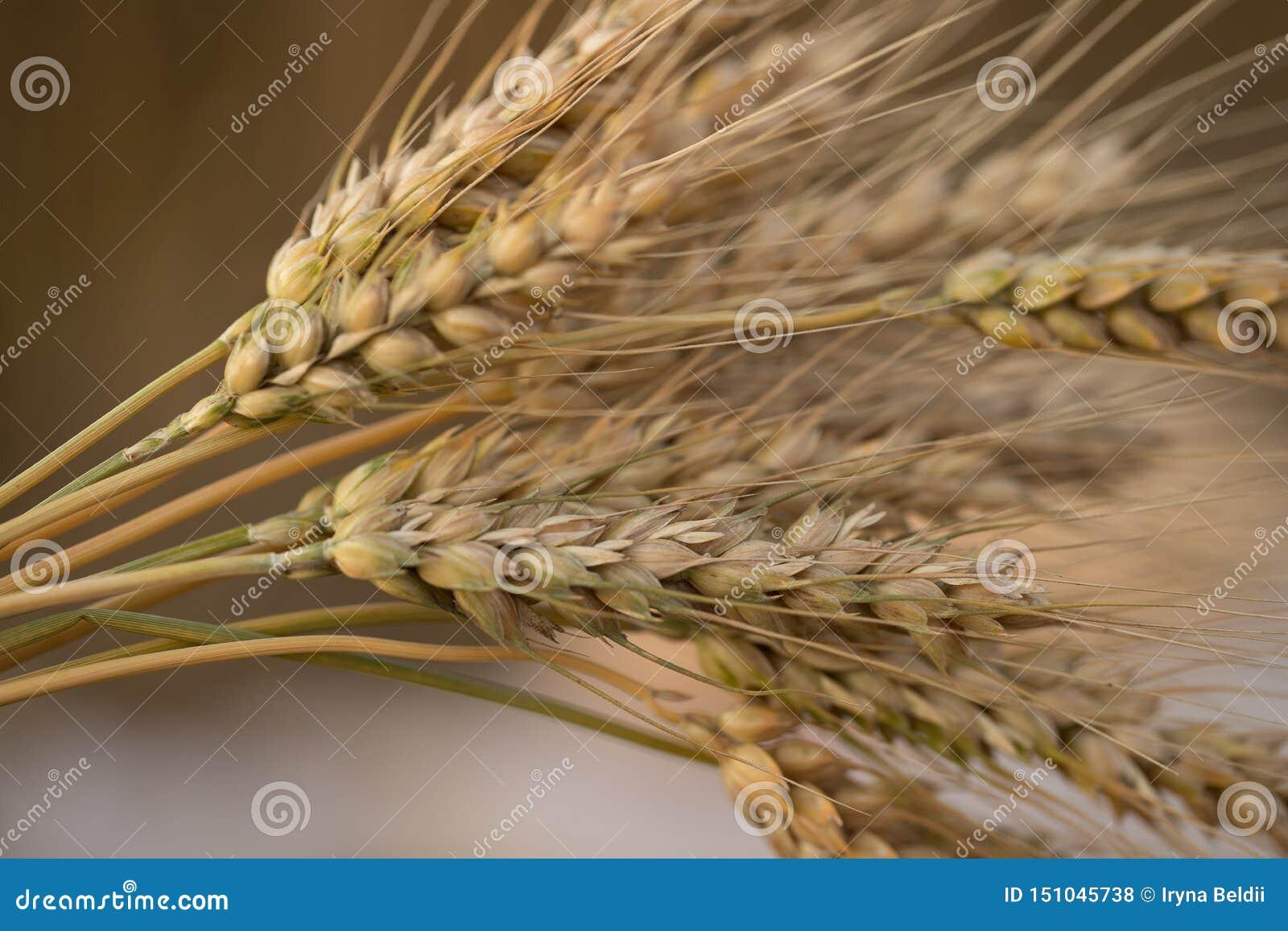 Oreilles de bl? au soleil