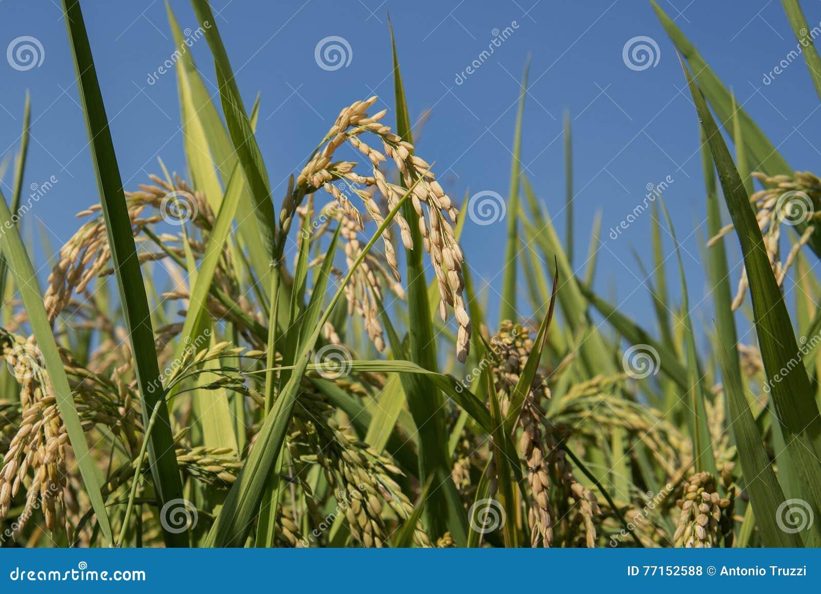 Oreilles de riz dans la rizière