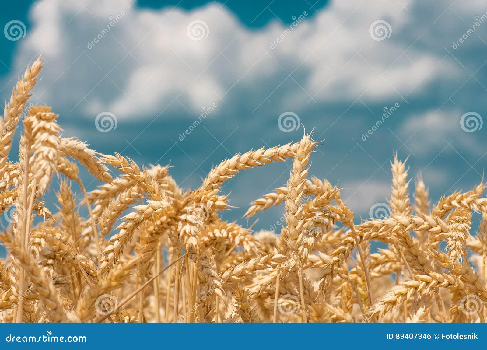 Orelhas do ouro do trigo contra o céu azul