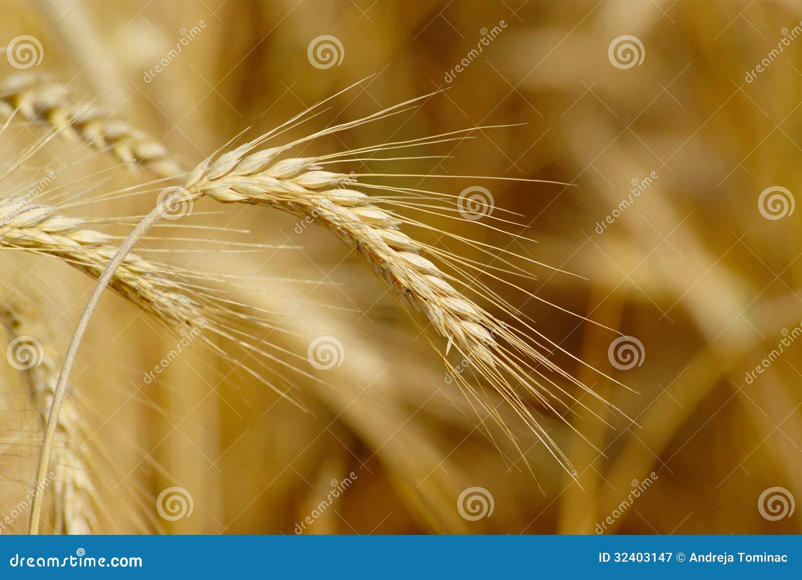 Orelhas maduras do trigo