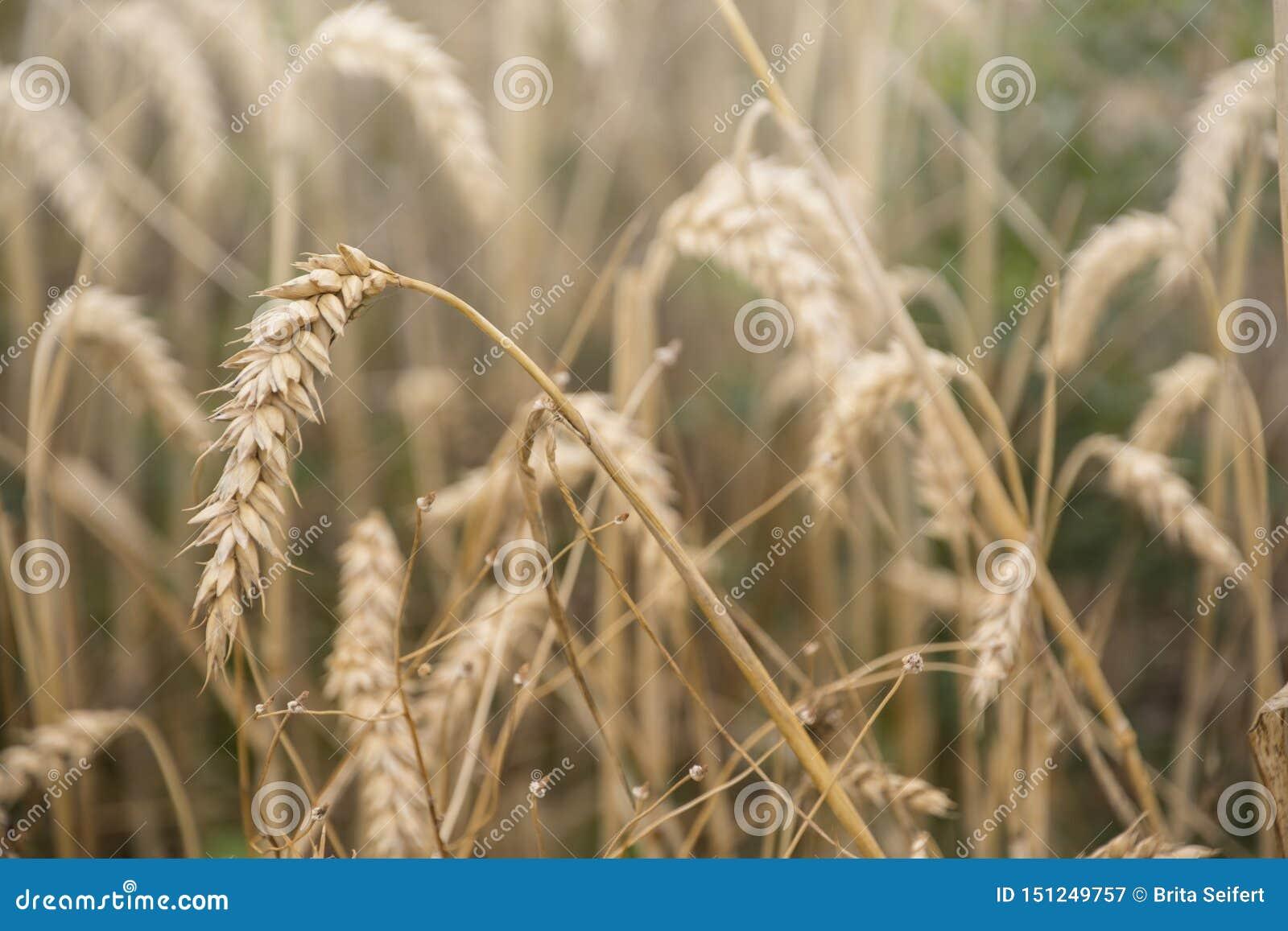 Orelhas maduras do trigo em um campo Campo de trigo Orelhas do fim dourado do trigo acima Fundo das orelhas de amadurecimento do