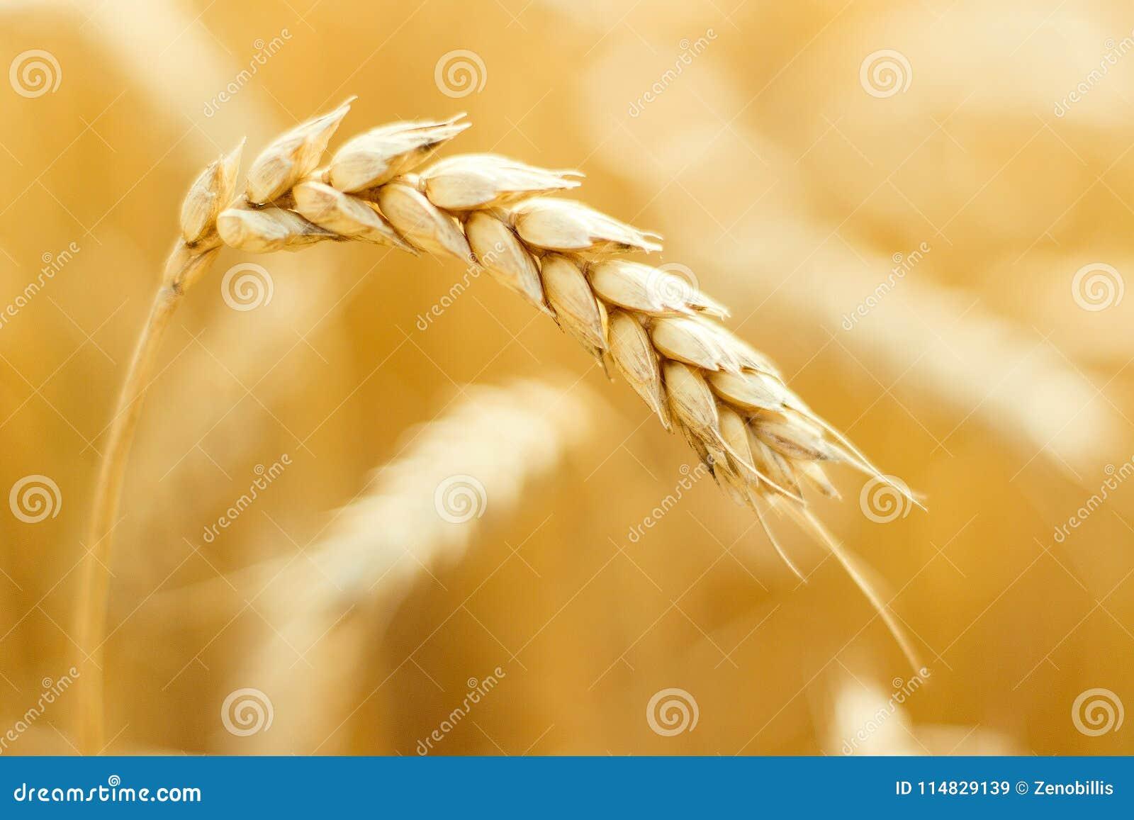 Orelhas maduras do trigo no campo durante o fim da colheita acima Ploughing o campo Cena rural Fundo de Bokeh