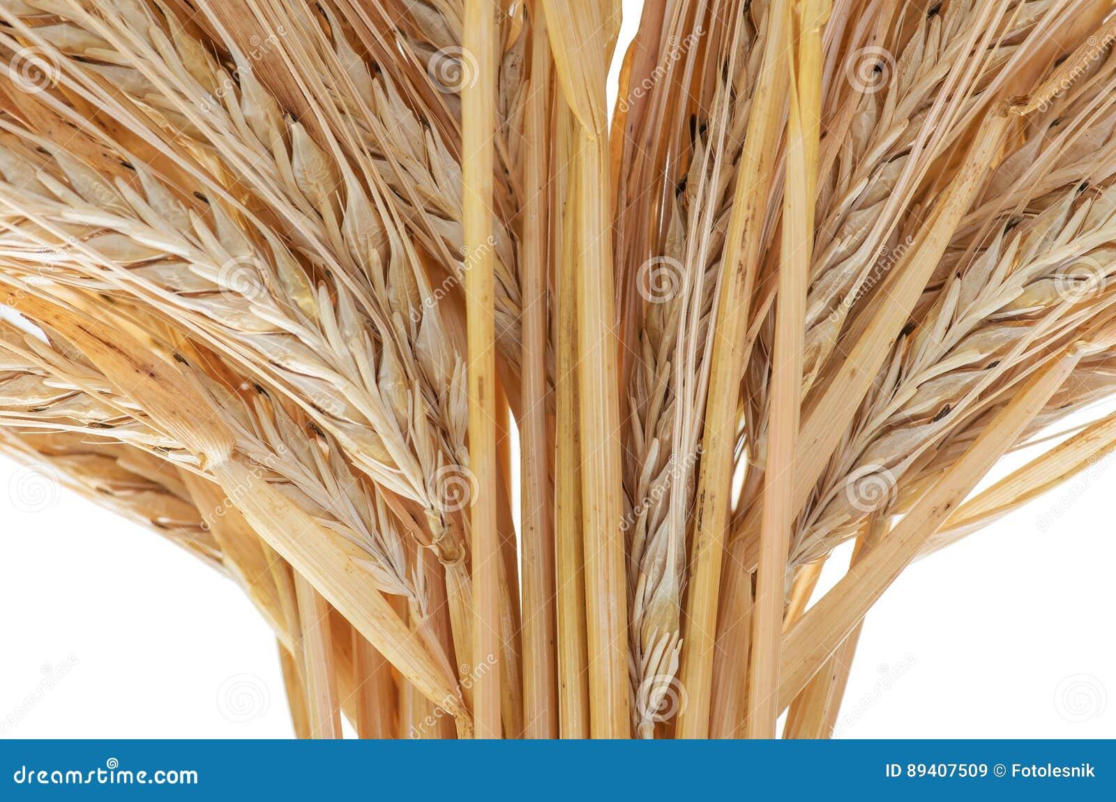 Orelhas maduras douradas orgânicas do close up do trigo