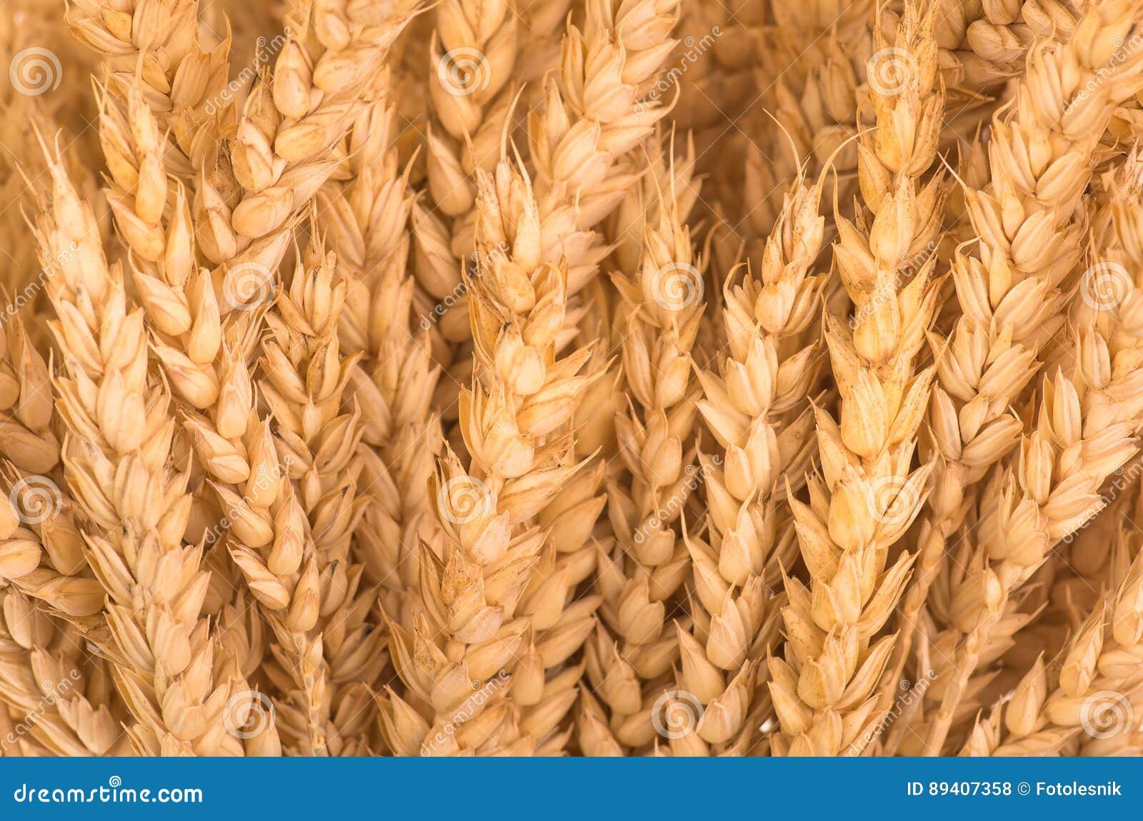 Orelhas maduras douradas orgânicas do trigo