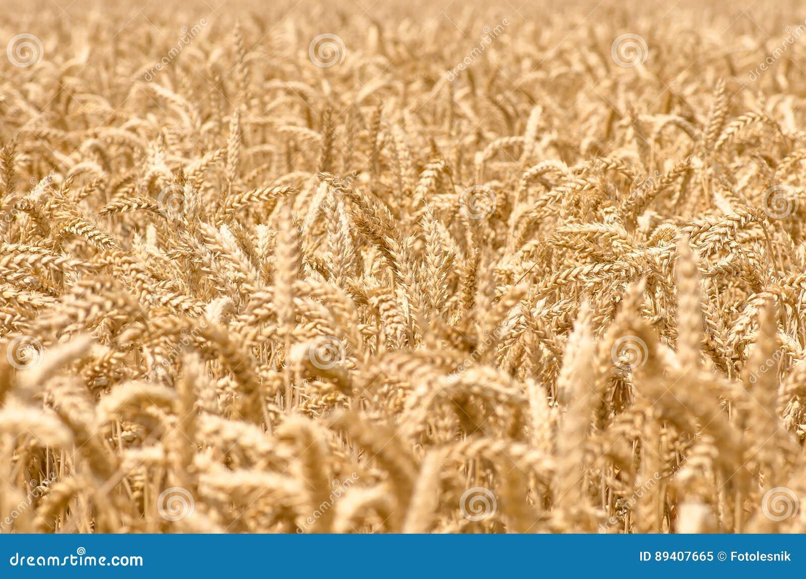 Orelhas maduras douradas orgânicas do trigo no campo