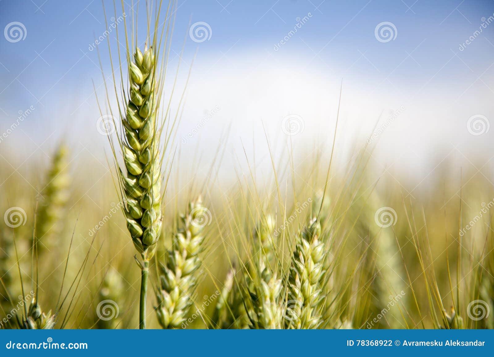 Oren van tarwe