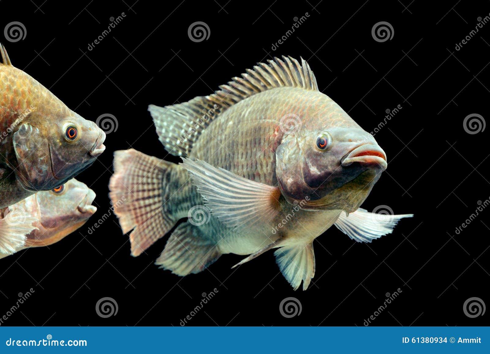 Oreochromis mossambicus tilapia fish stock photo image for Tilapia aquarium