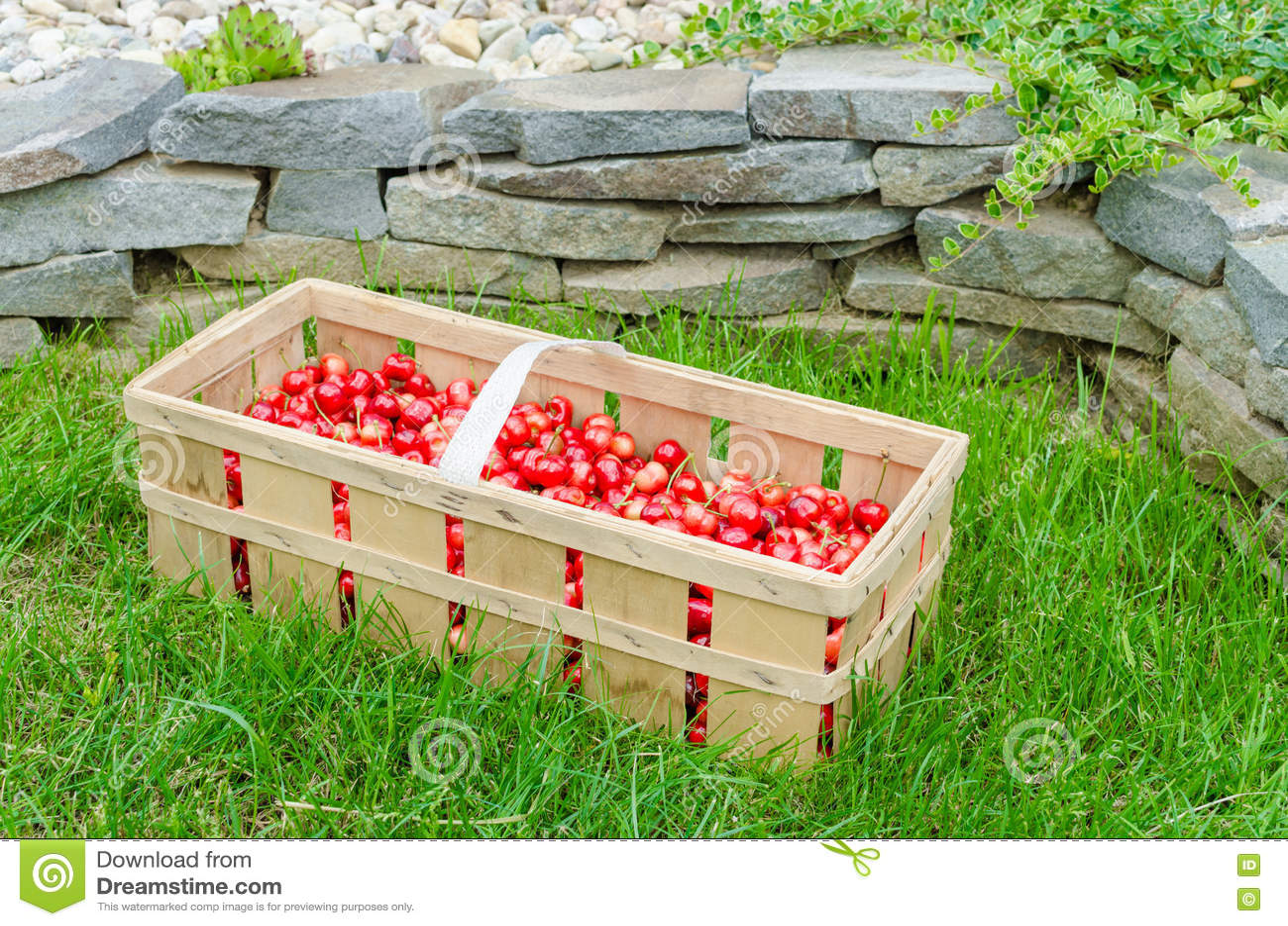 Organic Cherries From Bio Garden Stock Image Image Of Diet Crate
