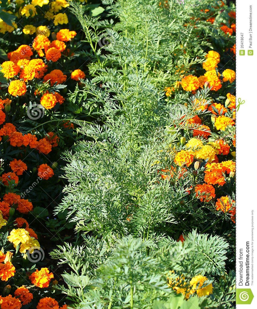 Vegetable garden planter boxes - Organic Companion Planting Carrots And Marigolds Royalty Free Stock