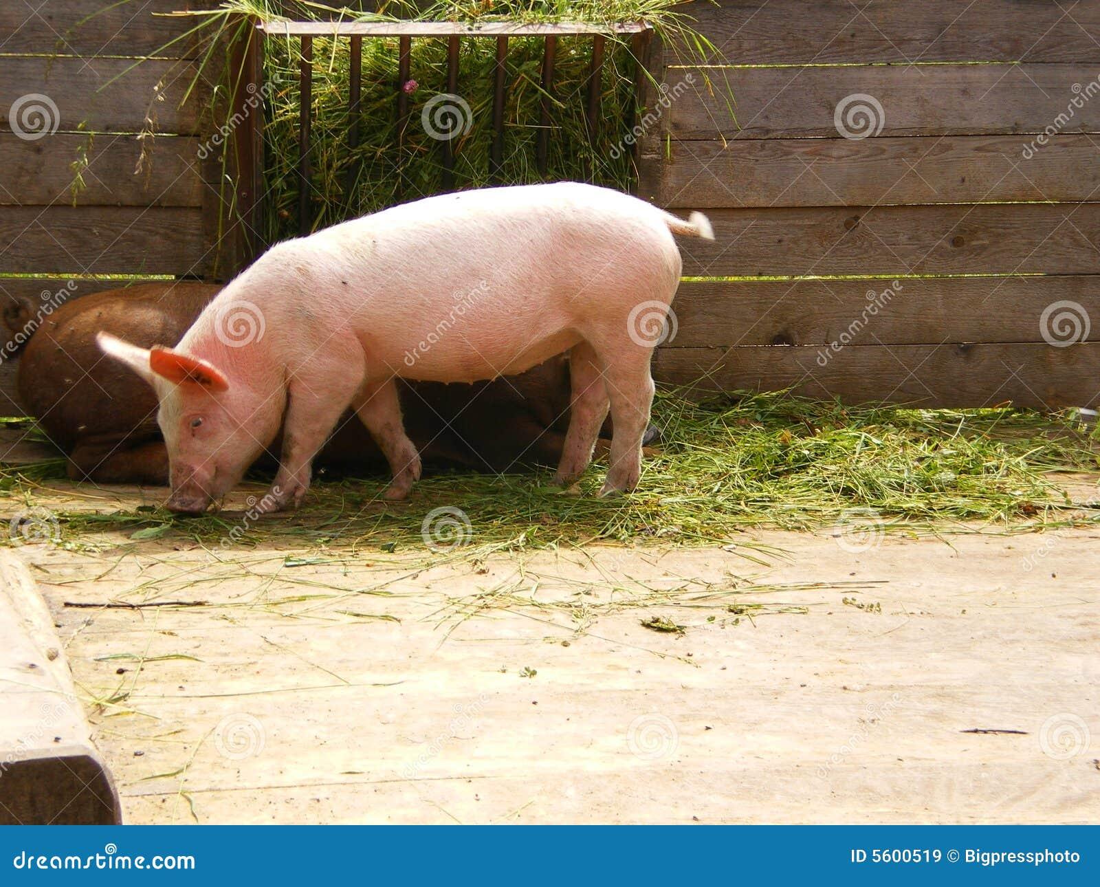 Organic Farm Pink Pig Eating Stock Image Image Of Stall