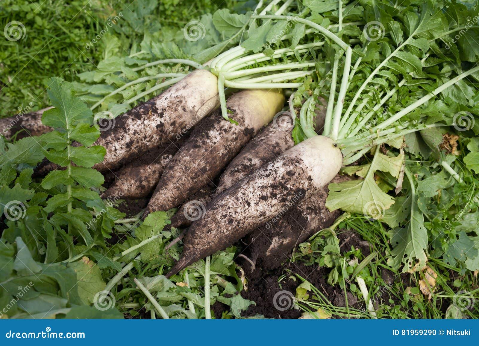Organic farm white radish with soil stock photo image for Harvest organic soil