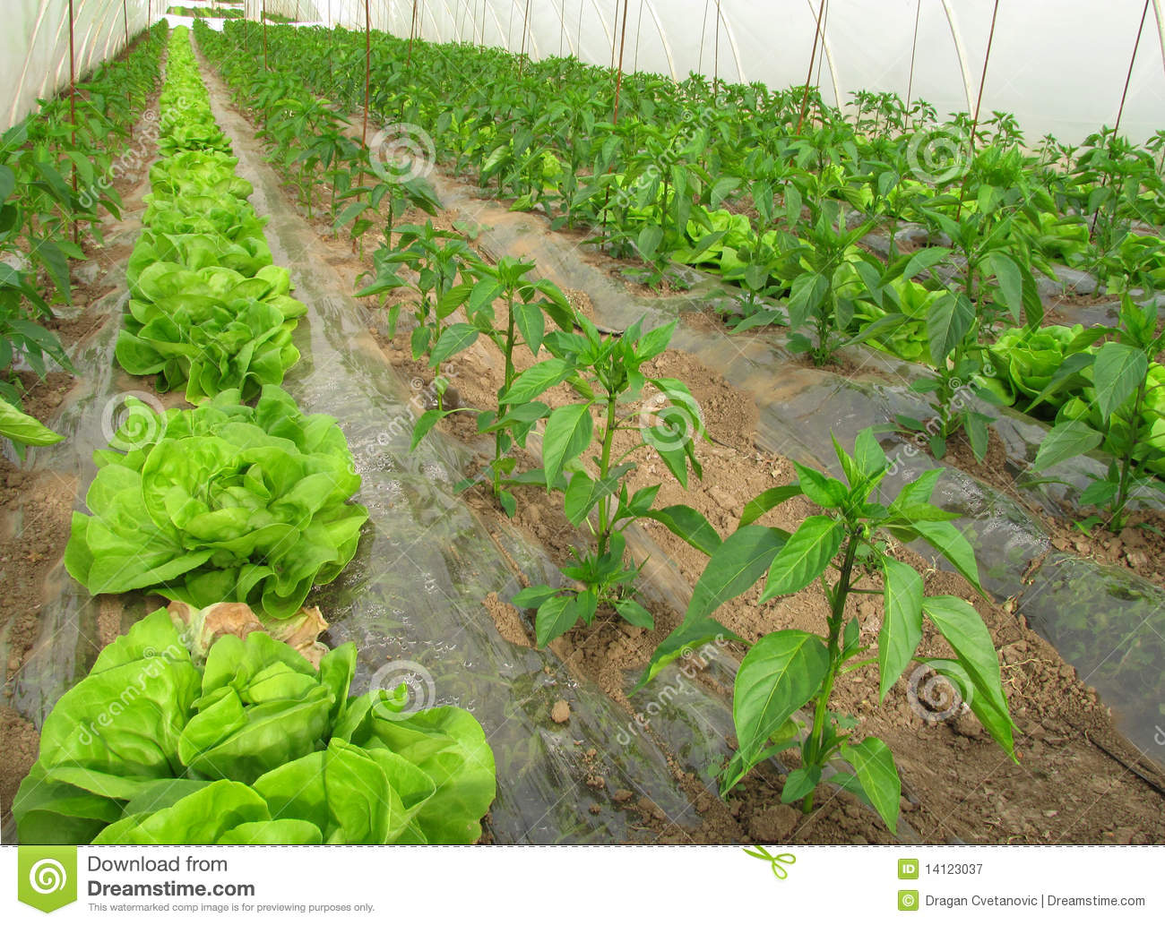 Organic farming, lettuce and peppers in greenhouse