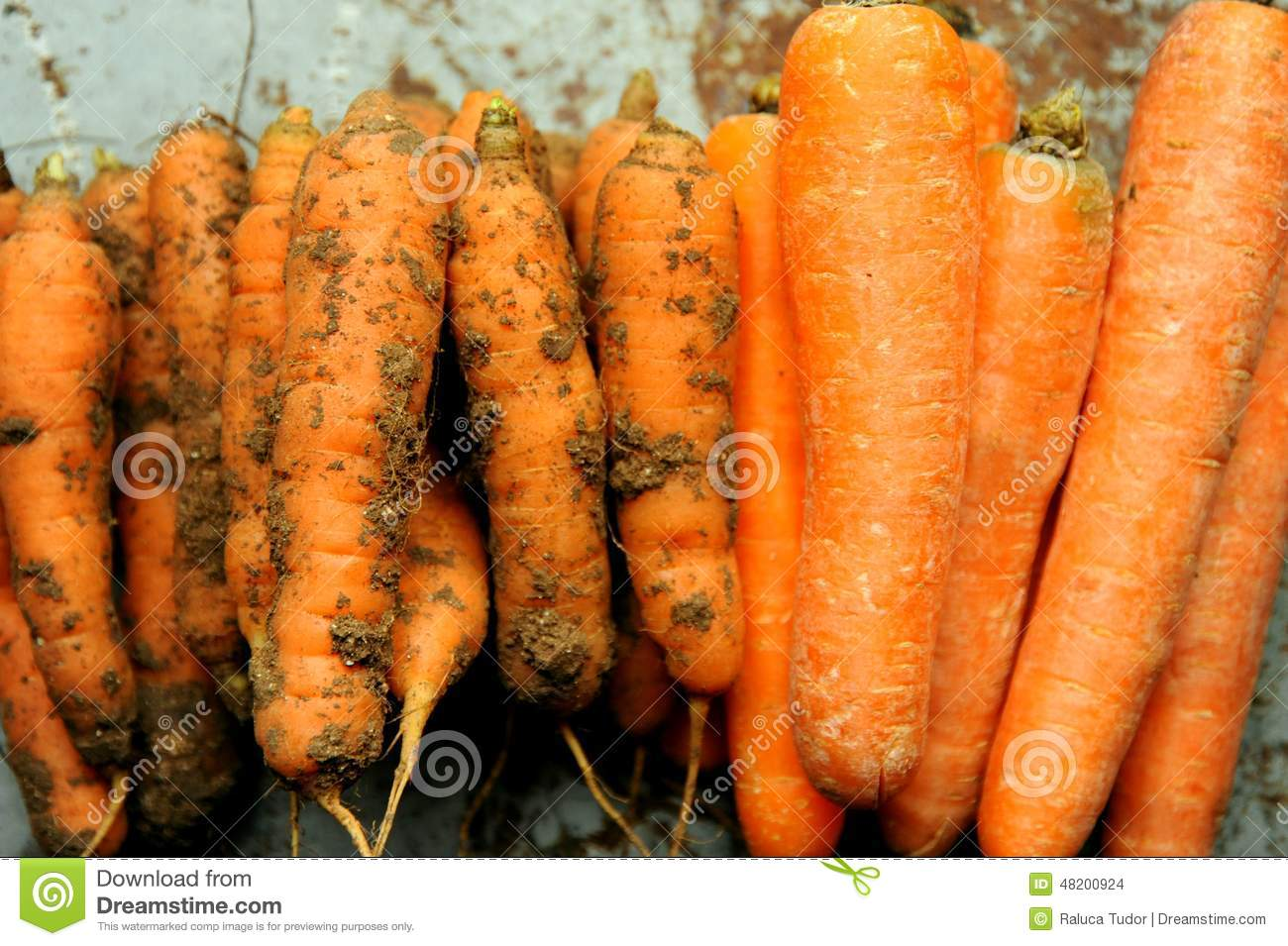 Organic Food Versus Gmo Food Carrots Stock Illustration