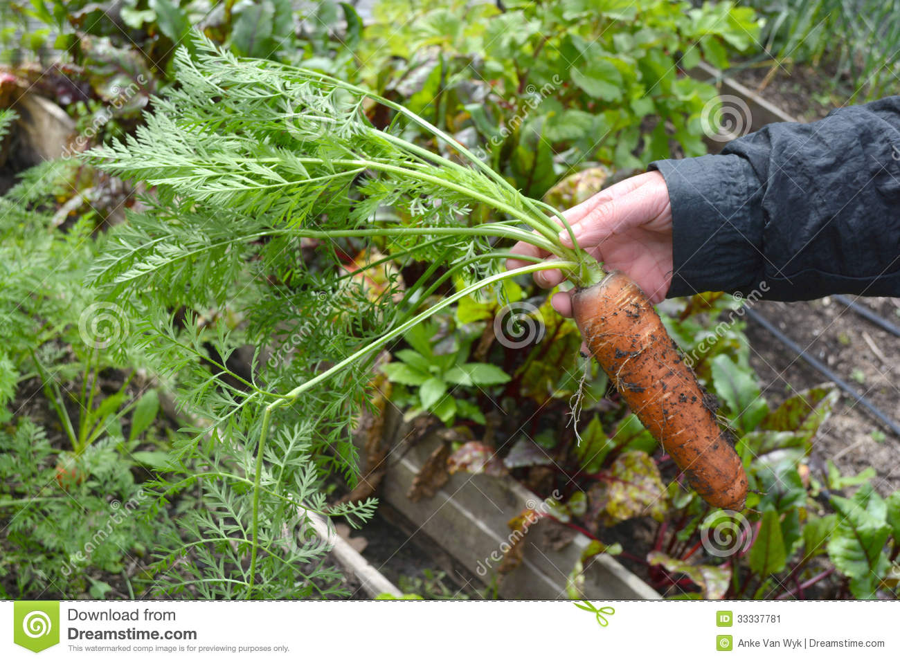 Fresh carrot organic gardening stock image image 33337781 for Big hands for gardening
